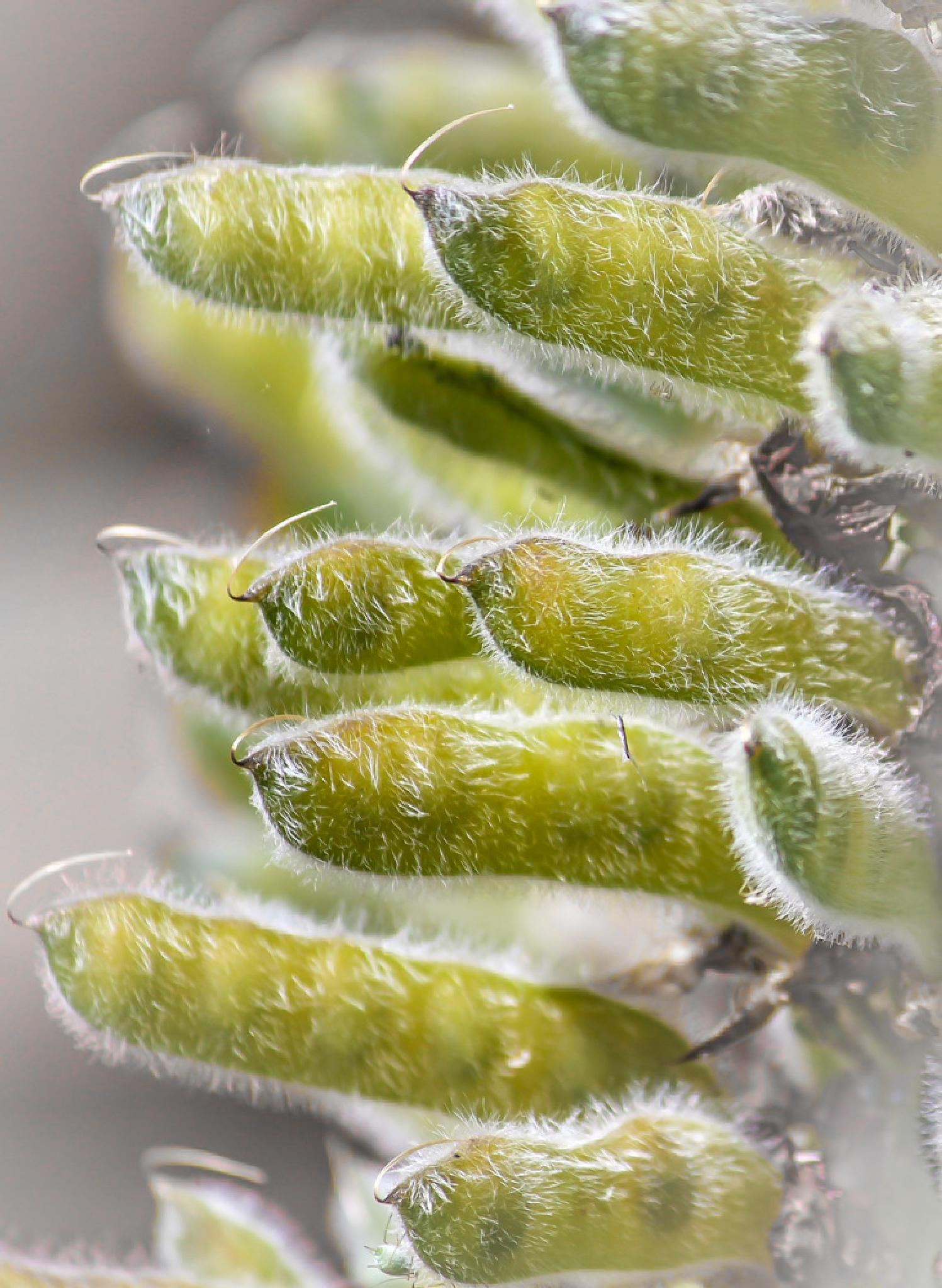 Pods from a Lupine by barbro.hansson.9