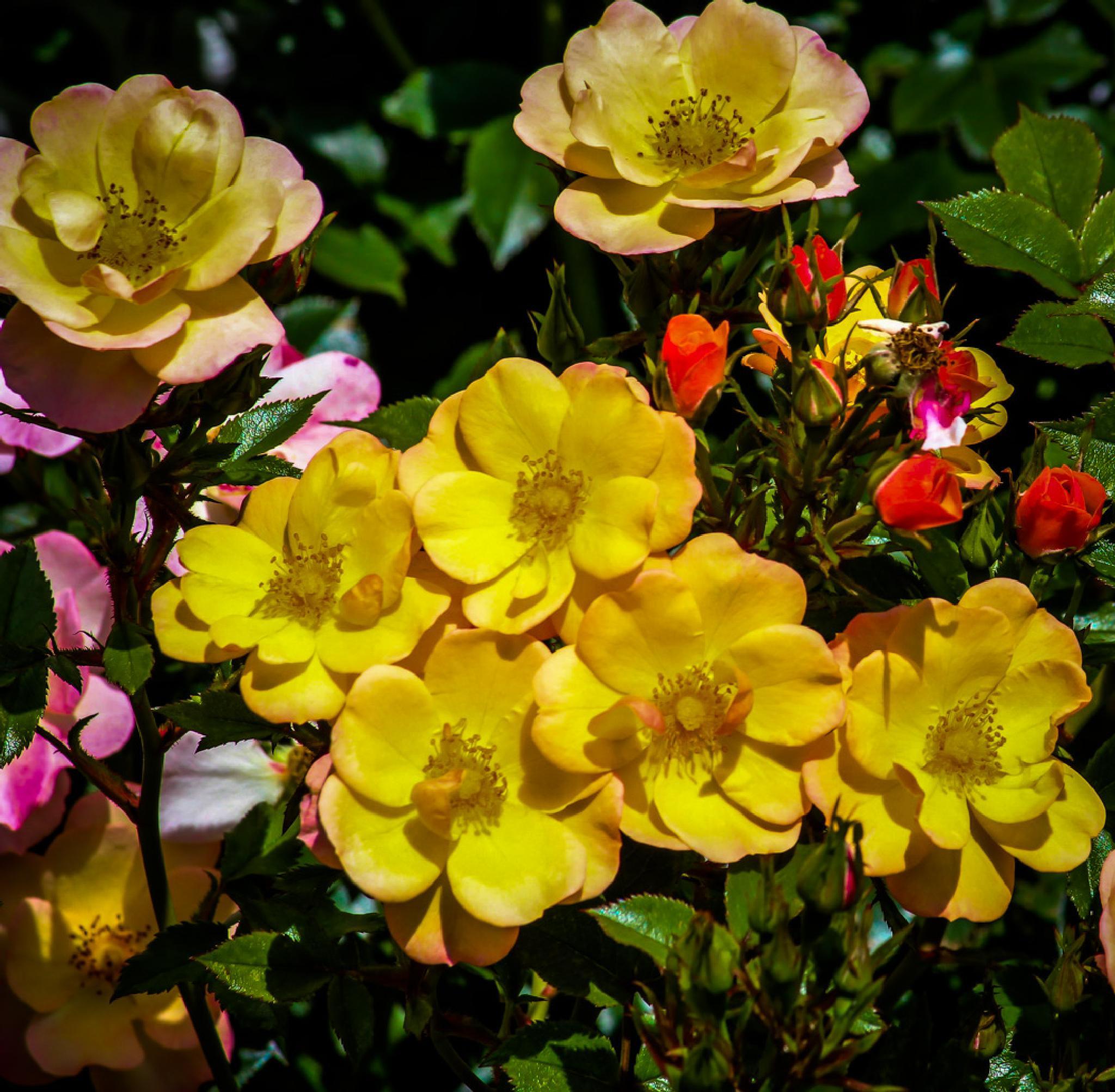 Photo in Random #nature #close-up #roses
