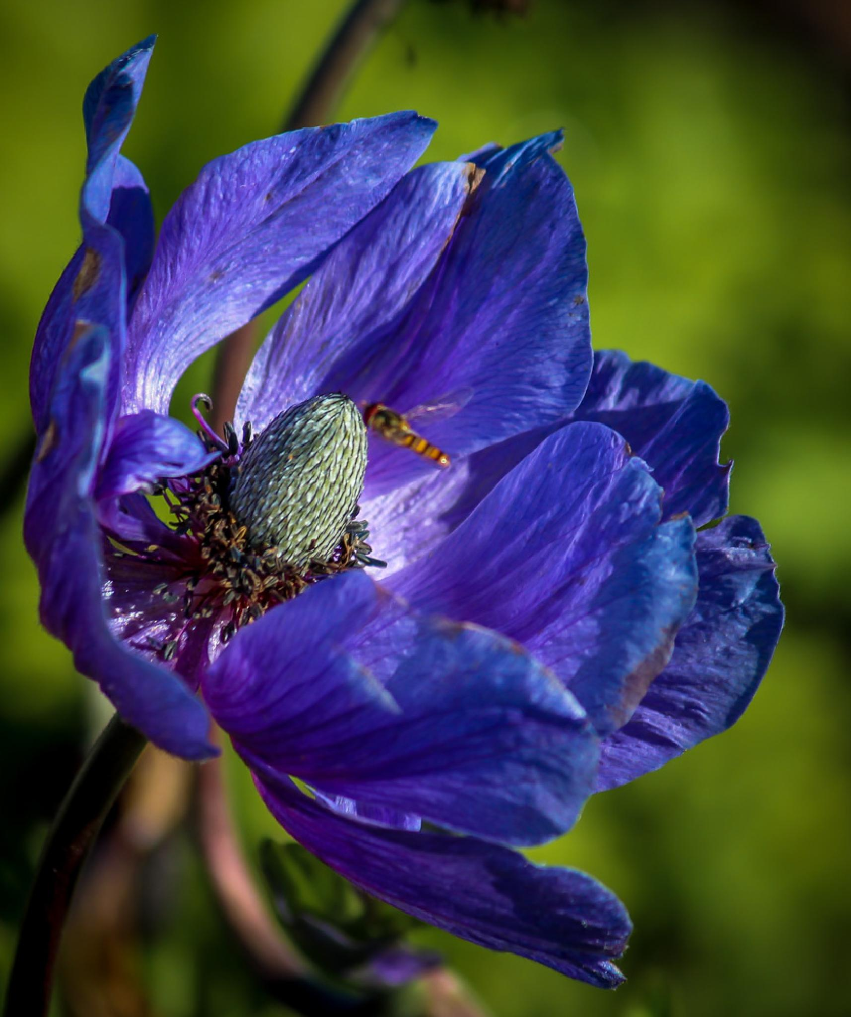 Blue anemone by barbro.hansson.9