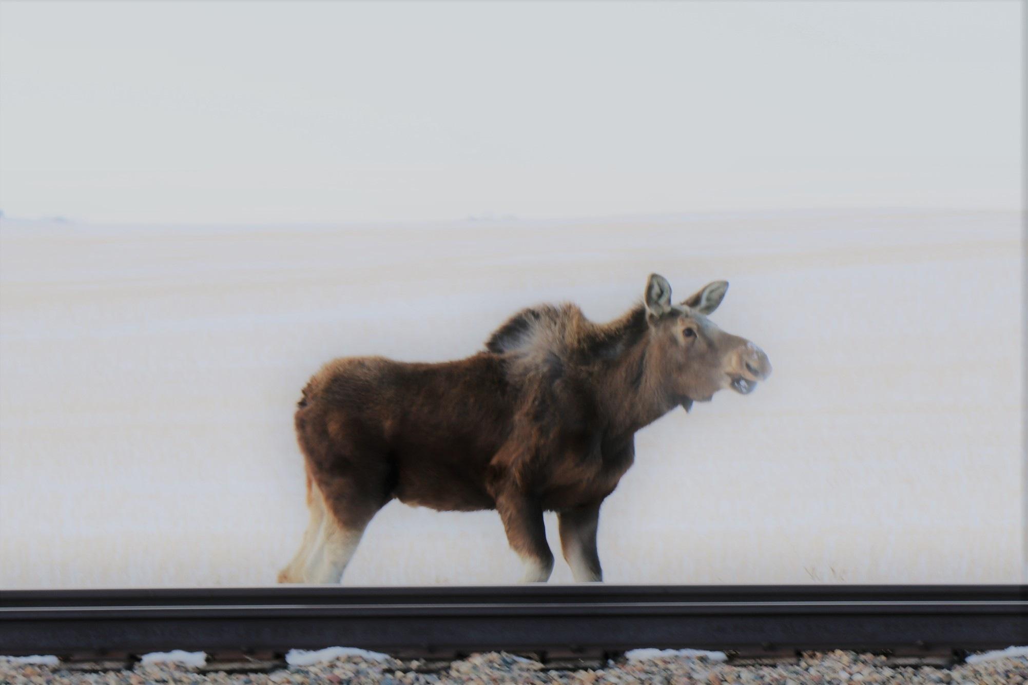 moose on loose by Rhyland Cottingham