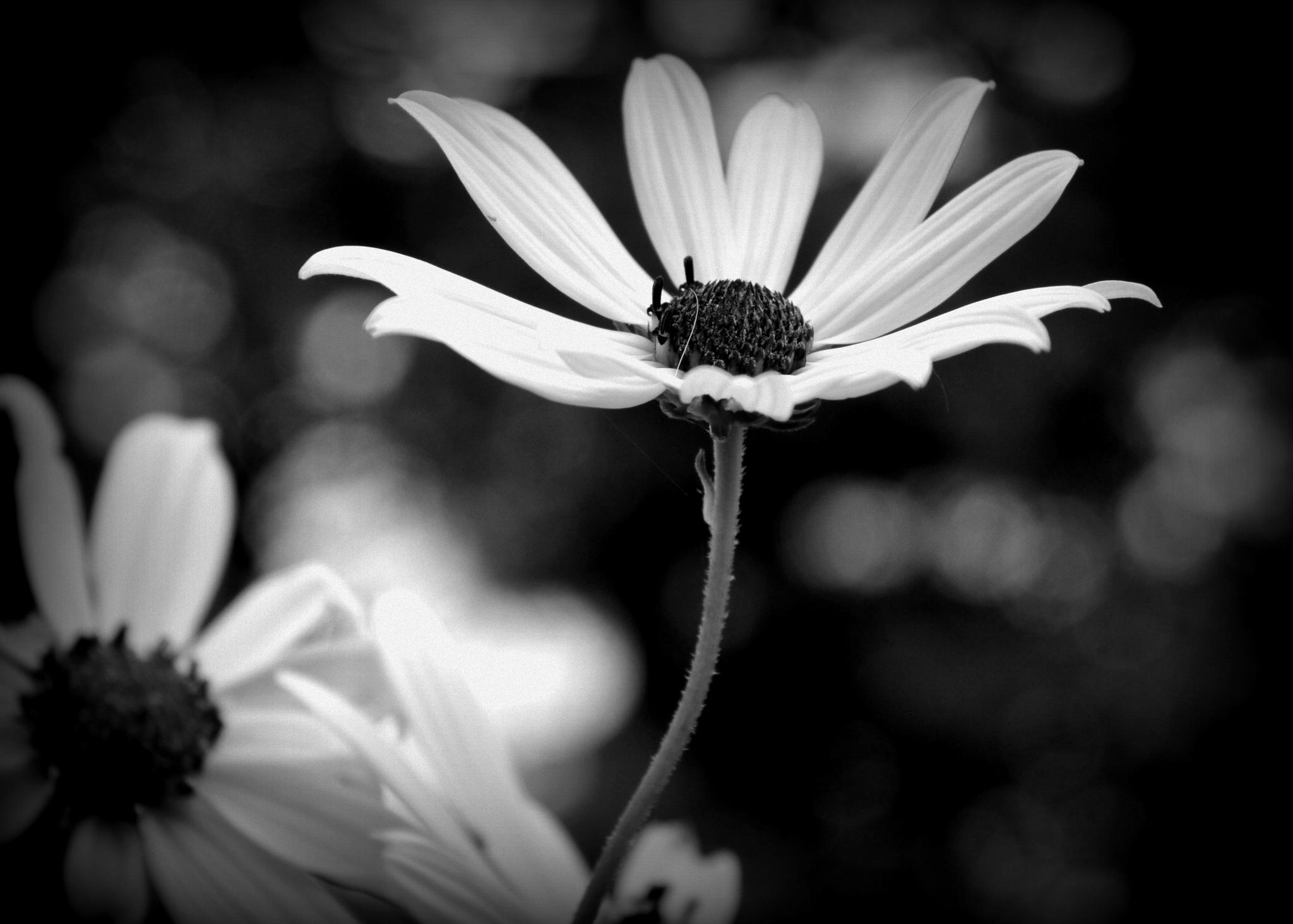 Black and white black eyed susan by Grace Lee