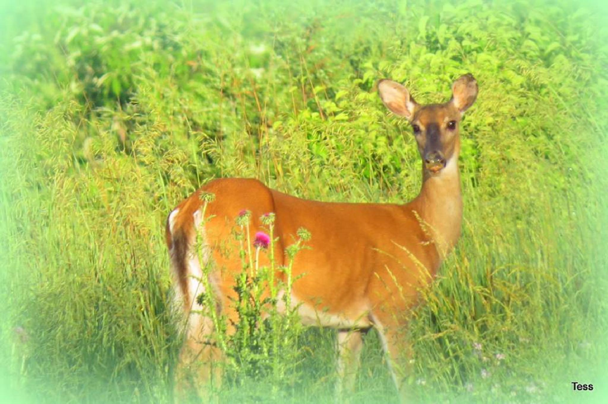 Spring Deer by teresa.ehling