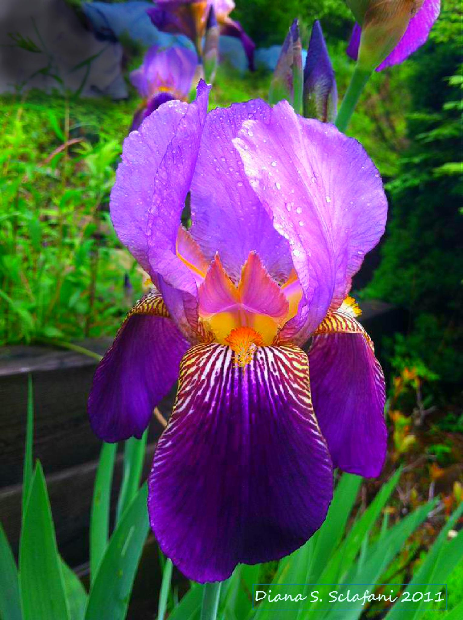 Purple Bearded Iris by diana.sclafani