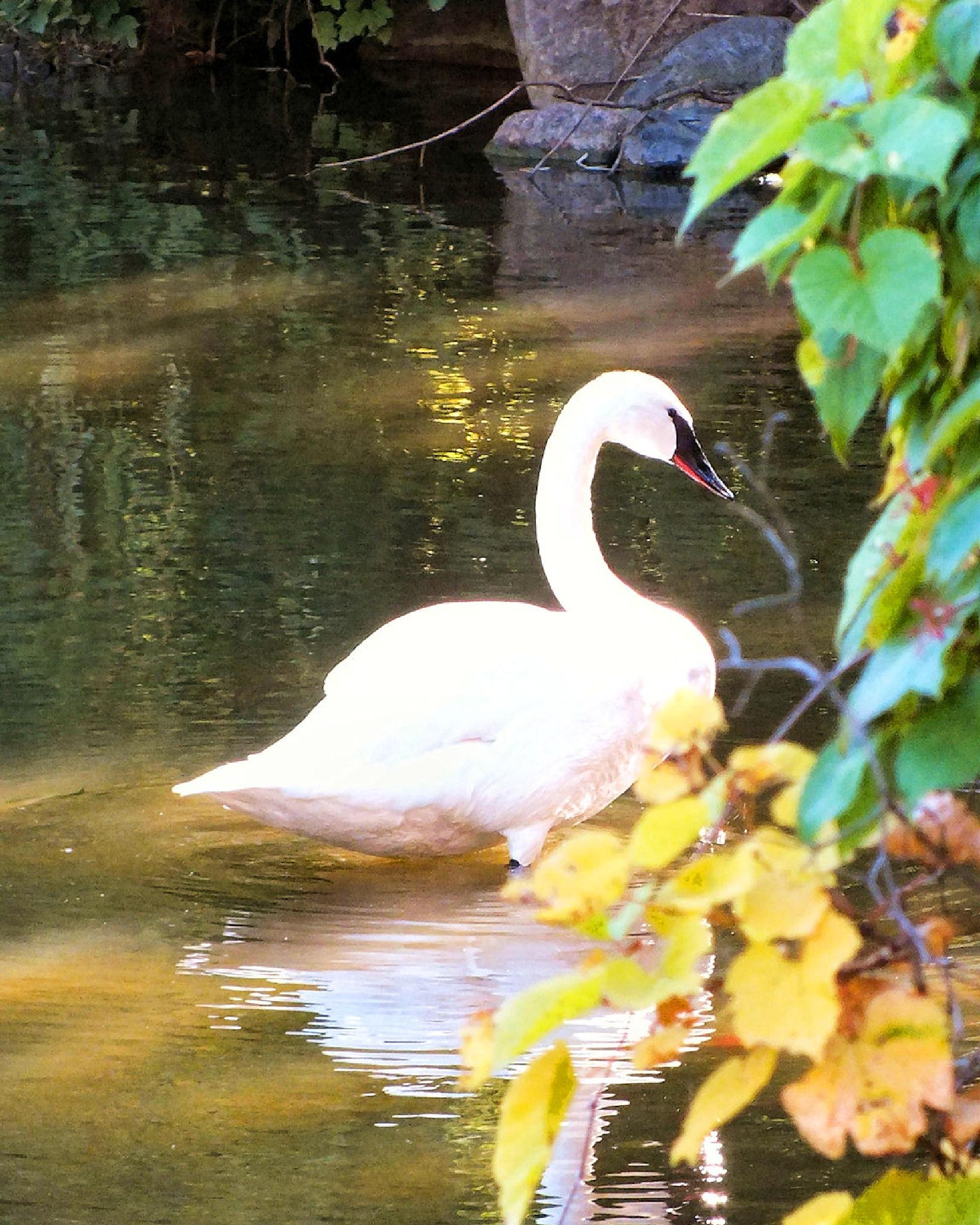 Swan by Lynn A Marie