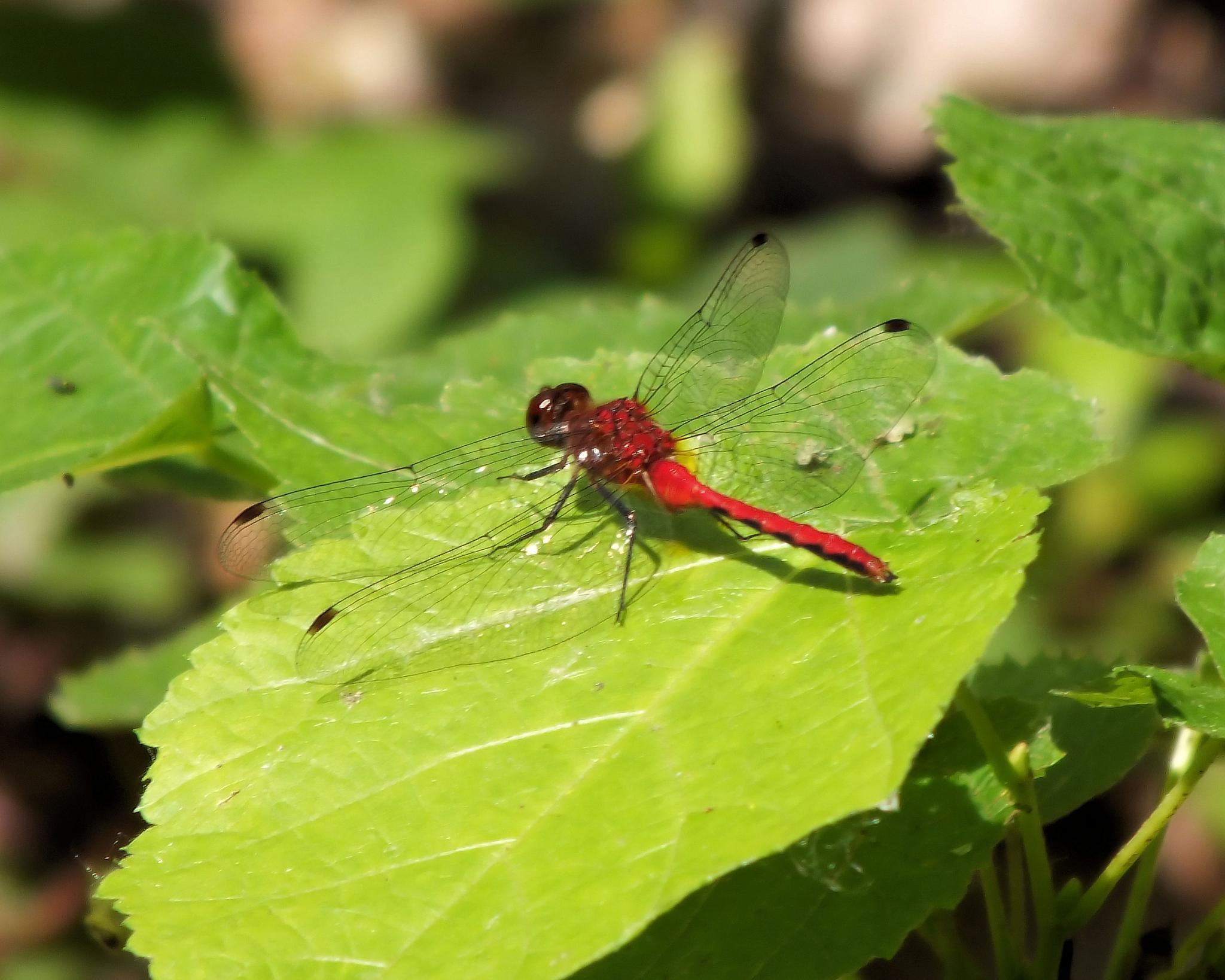 Dragonfly by Lynn A Marie