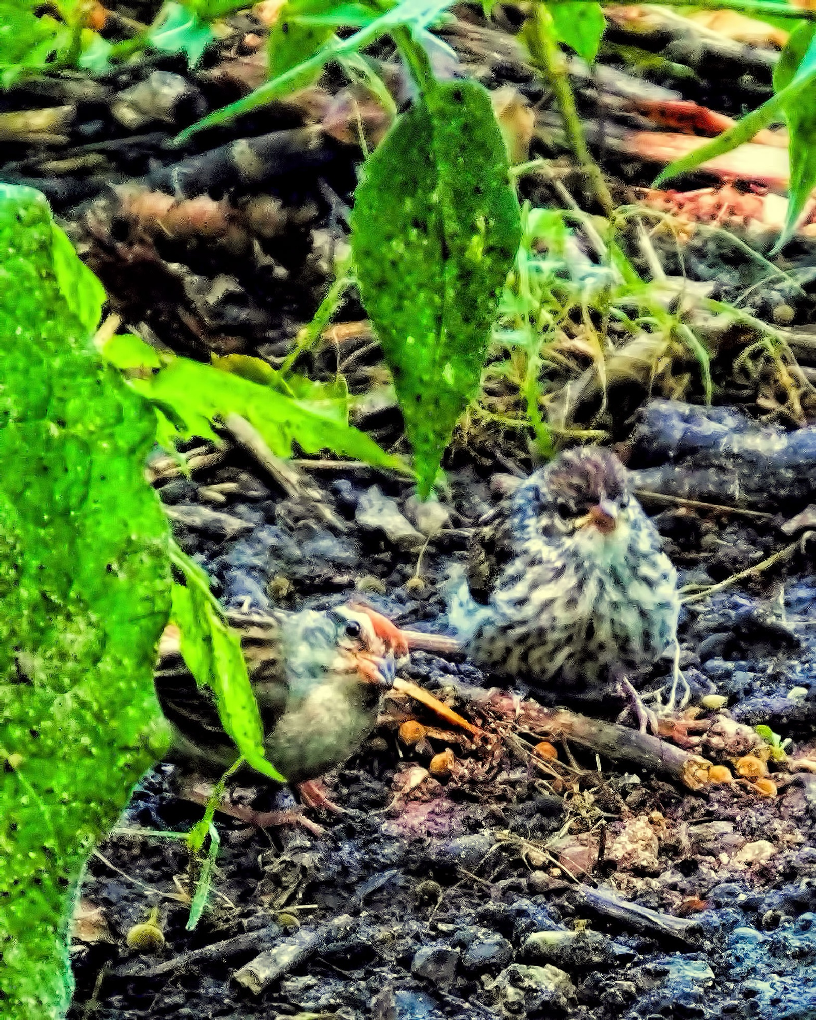 Chipping Sparrow by Lynn A Marie