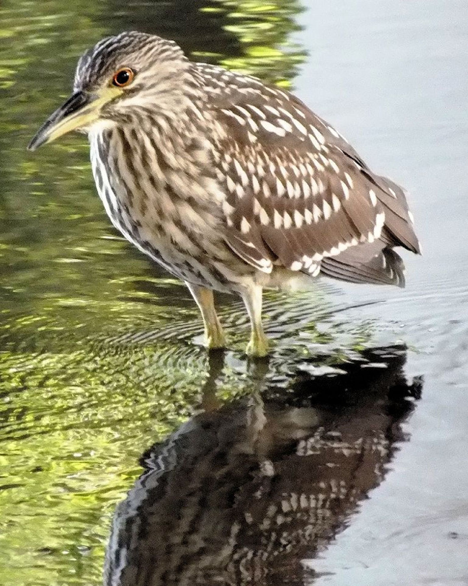Resting Heron In The River by Lynn A Marie