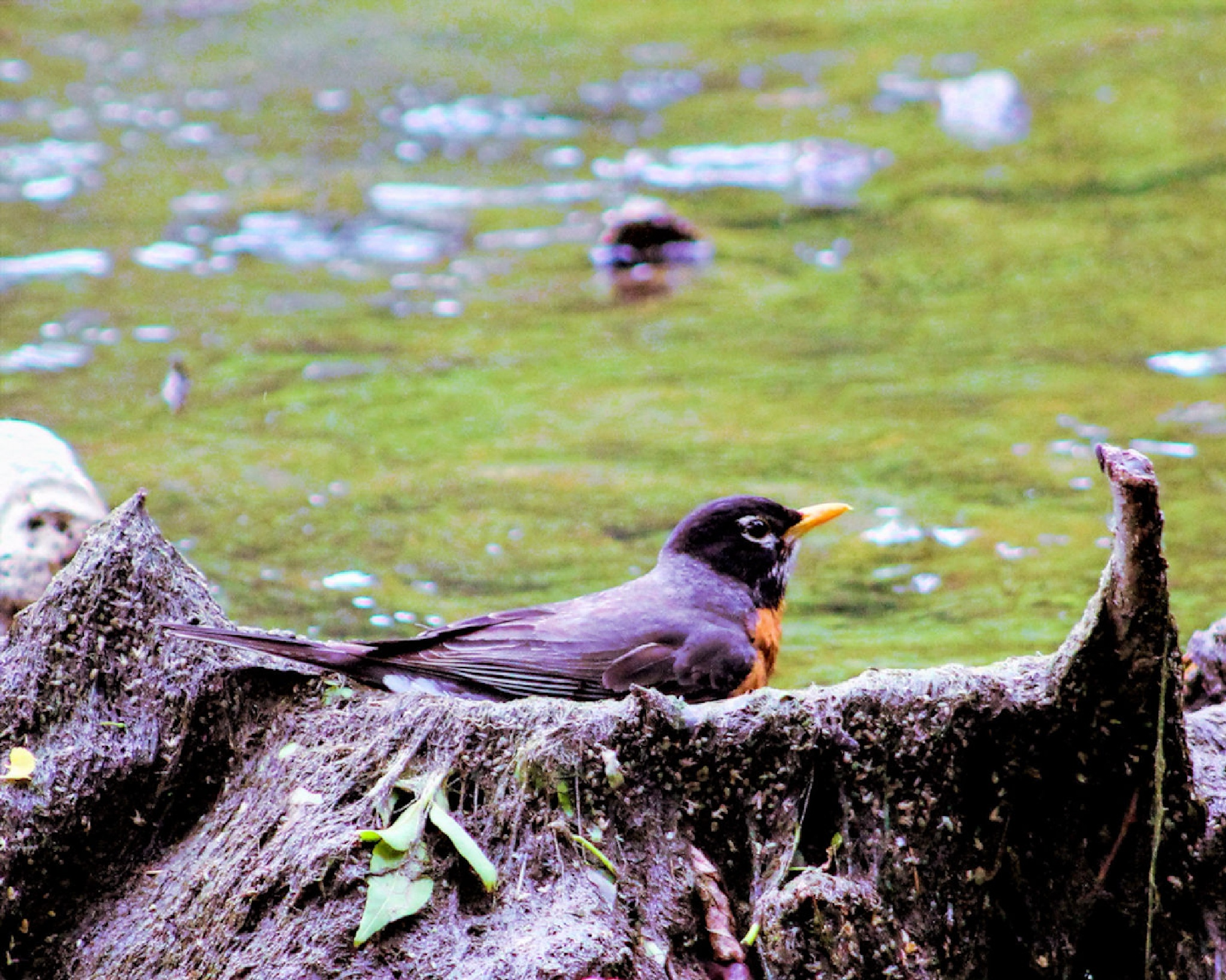 Robin In The Water by Lynn A Marie