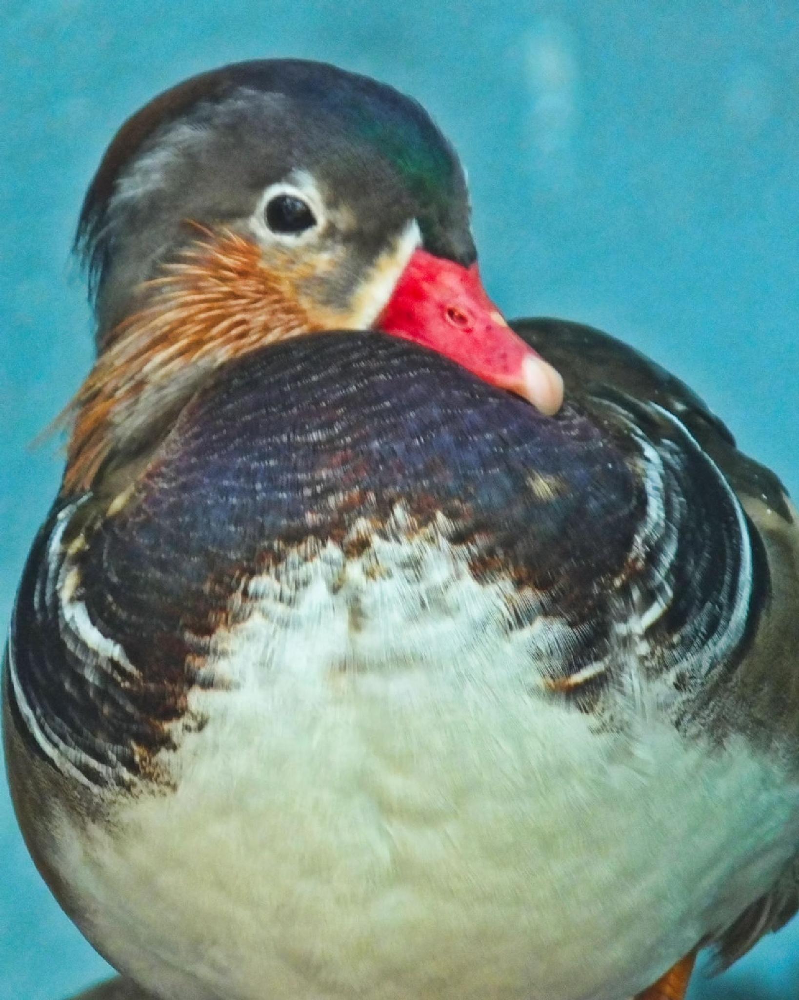 Resting Duck by Lynn A Marie