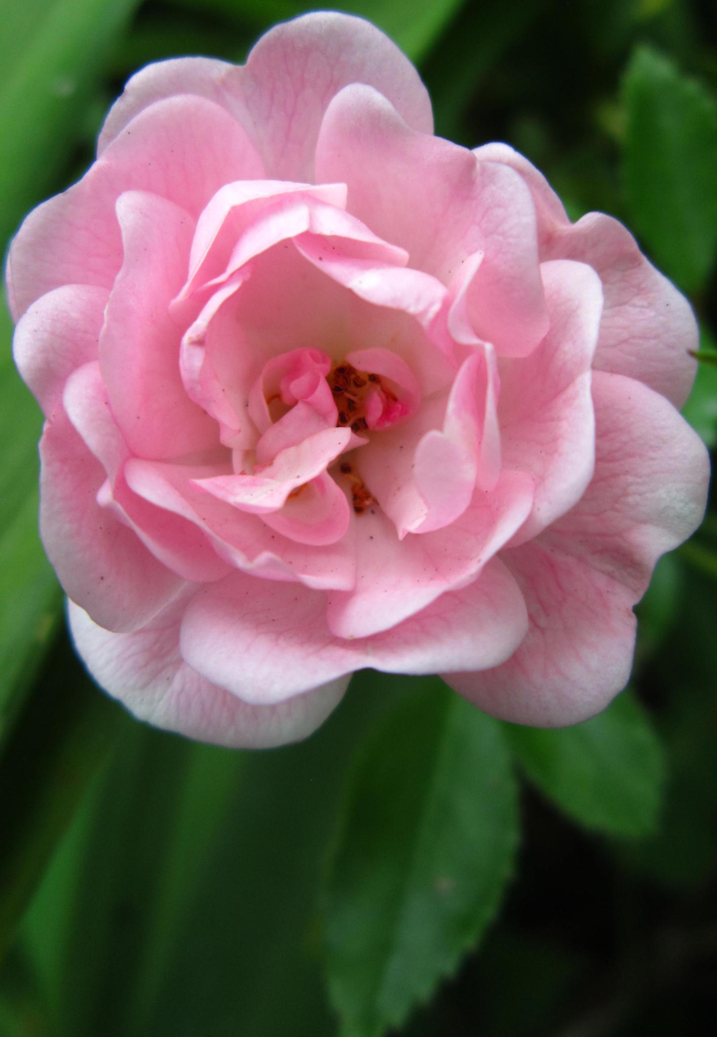 Delicate Rose by Cina De Moura