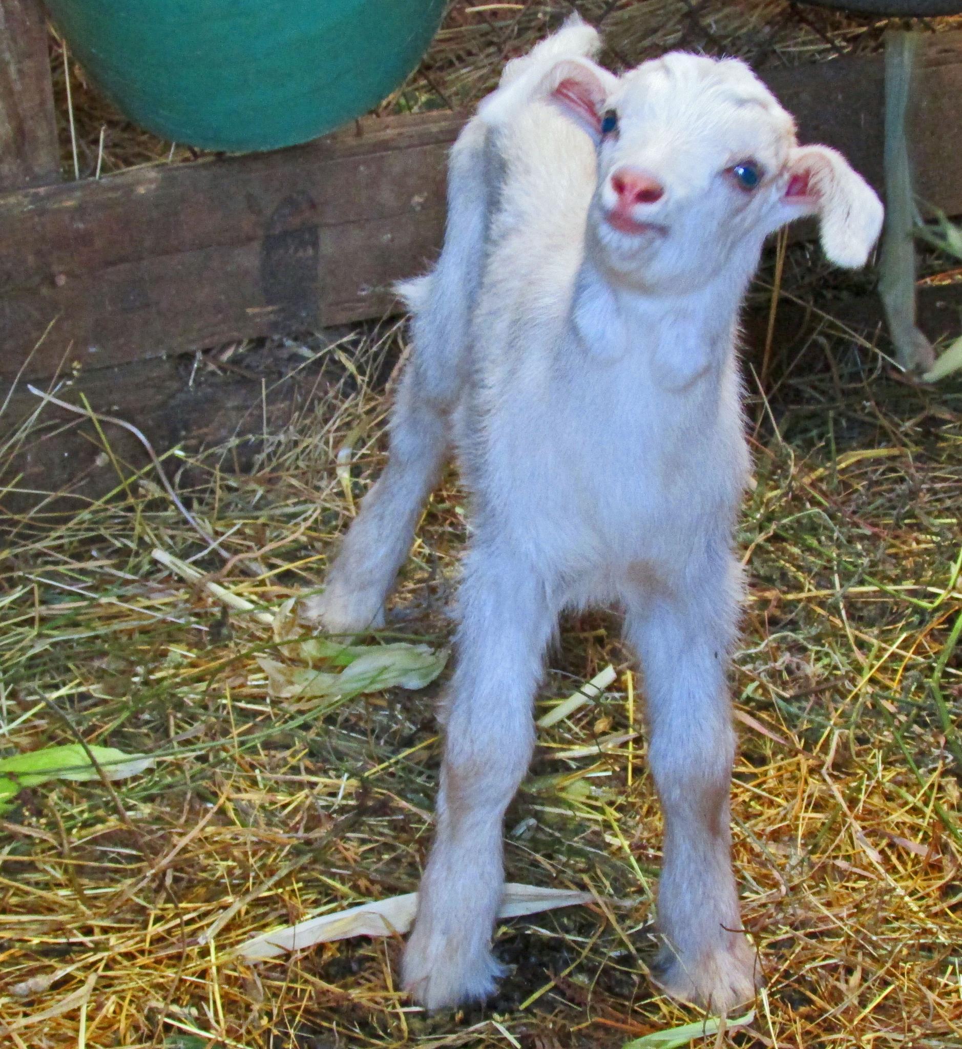 Photo in Rural #baby goat #blue eyes #farm #portugal