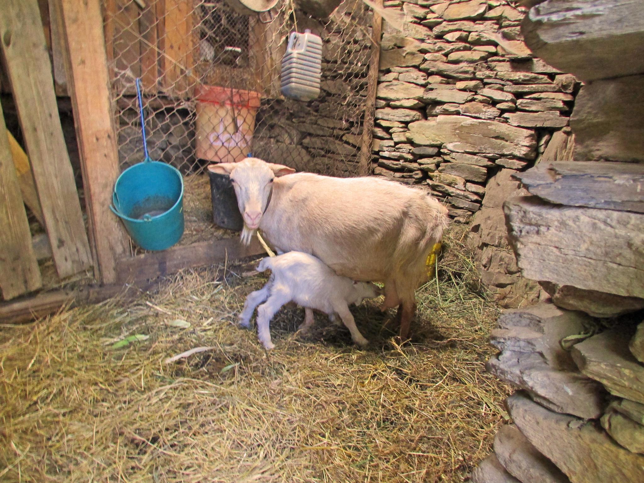 Photo in Rural #mom goat #baby goat #farm #portugal
