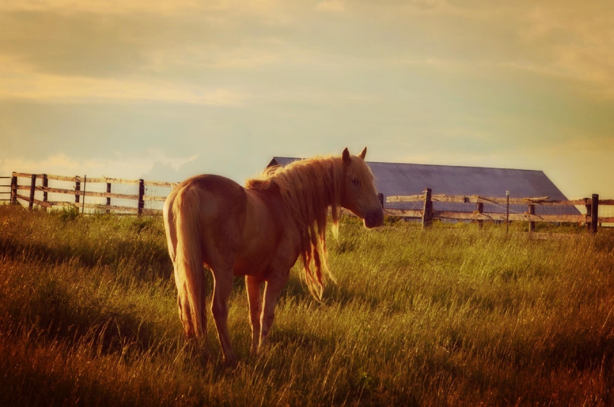 Champagne, Rocky mountain stallion, Kentucky USA by greenmountaingirl