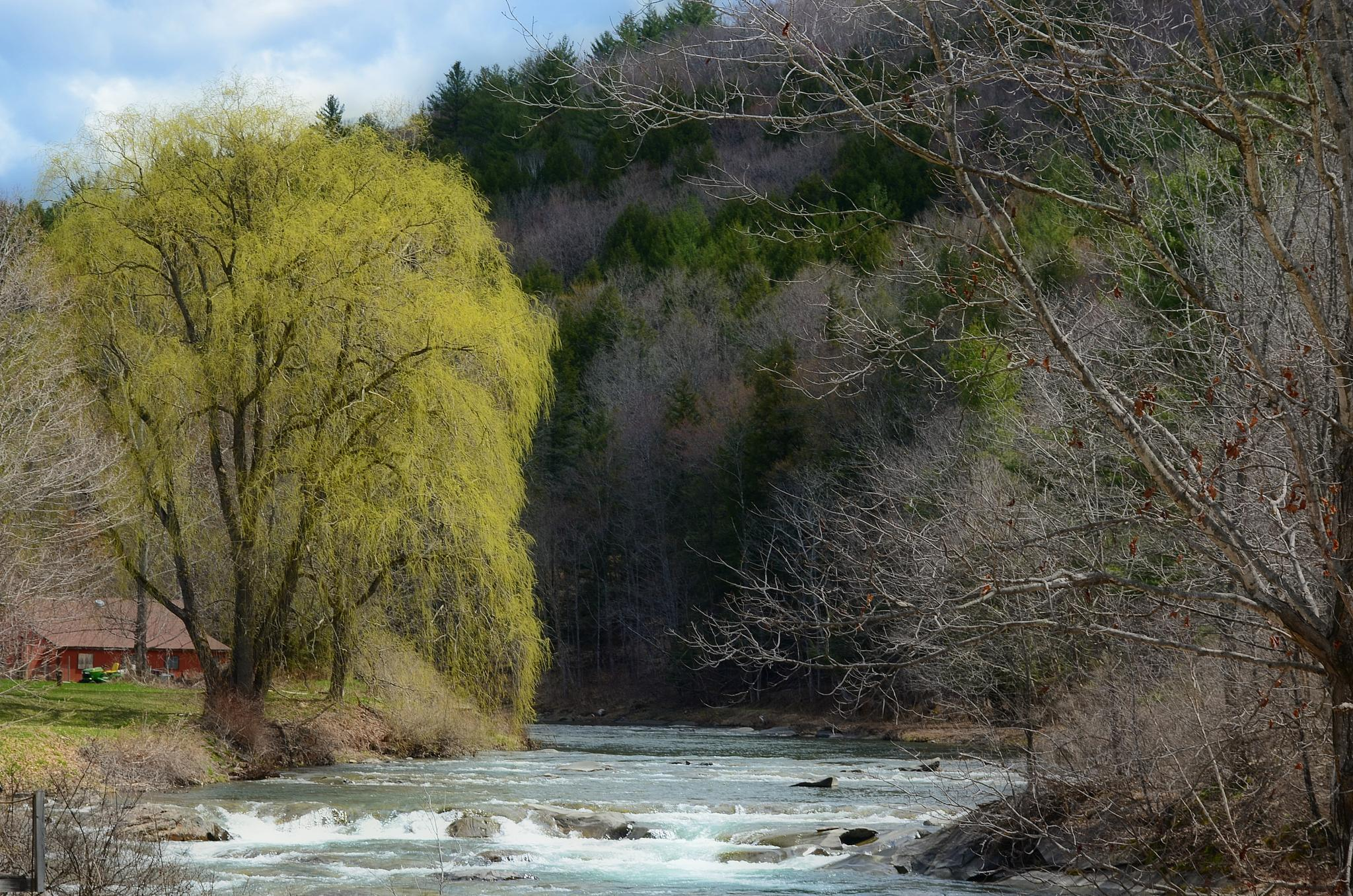 Weeping willow at the river bend ( early spring ) by greenmountaingirl