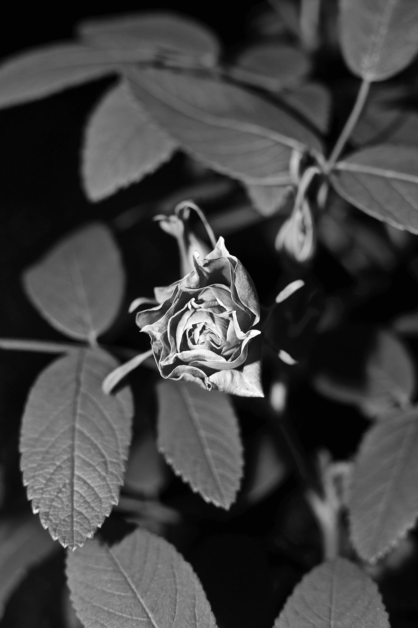 my little rose bud by pesnell1
