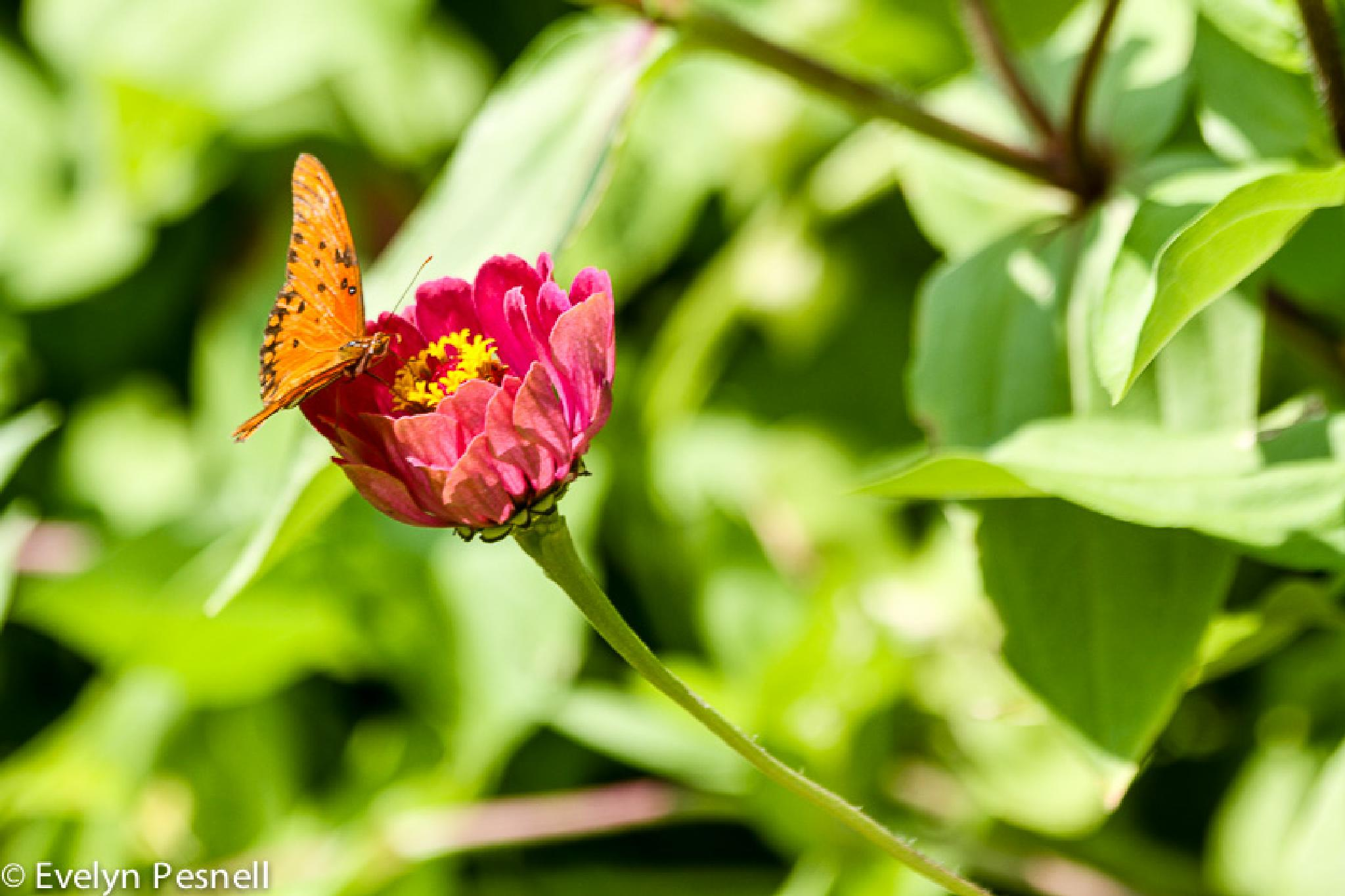 zinnia butter by pesnell1