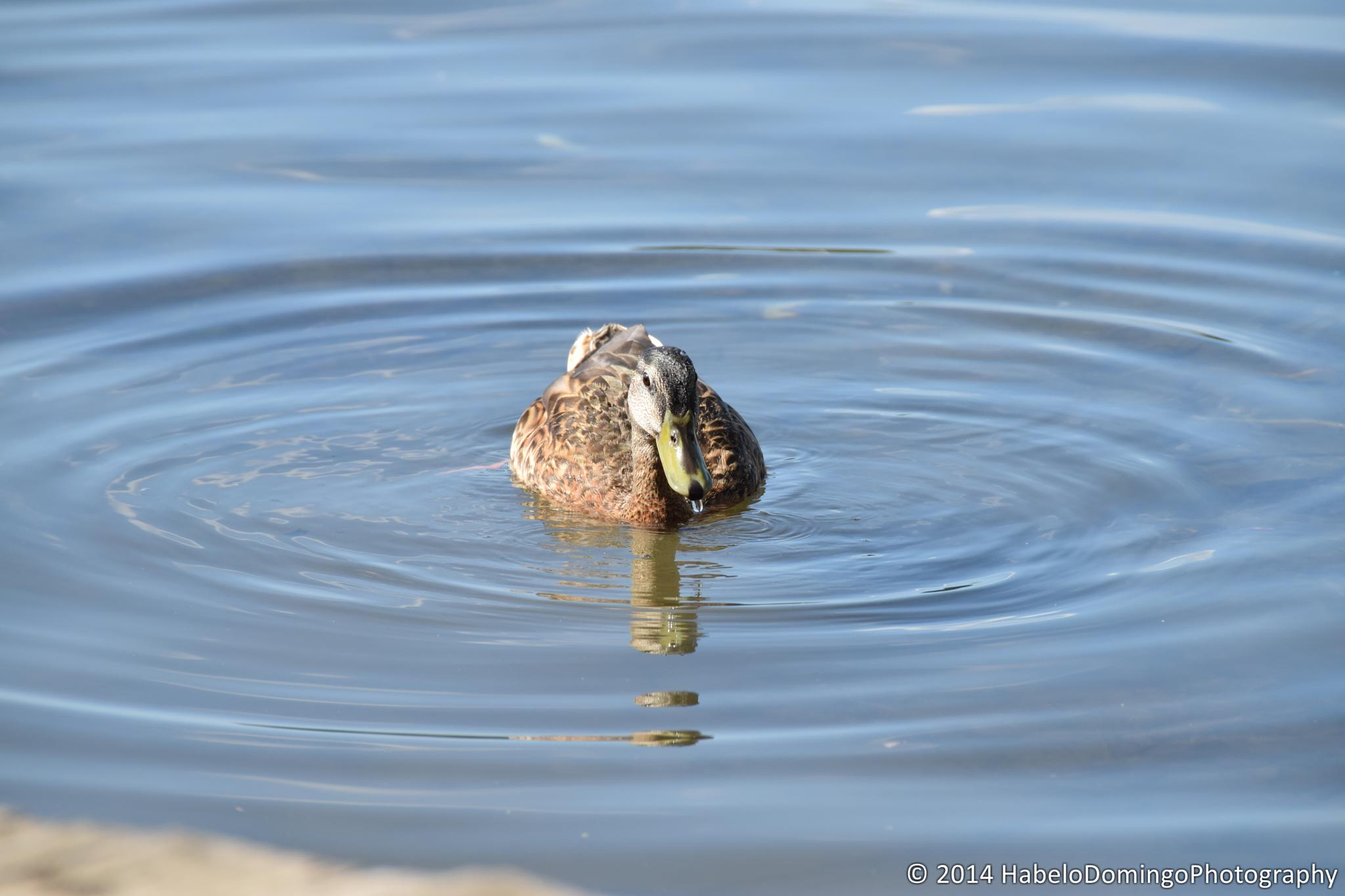 Lonely Duck by 808HabeloD.