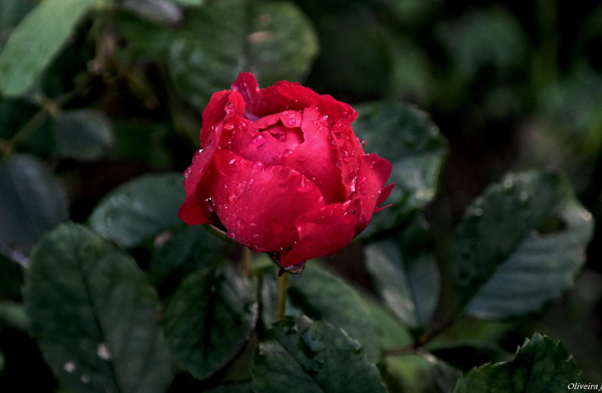 ROSE IN THE RAIN by joseoliveira1694
