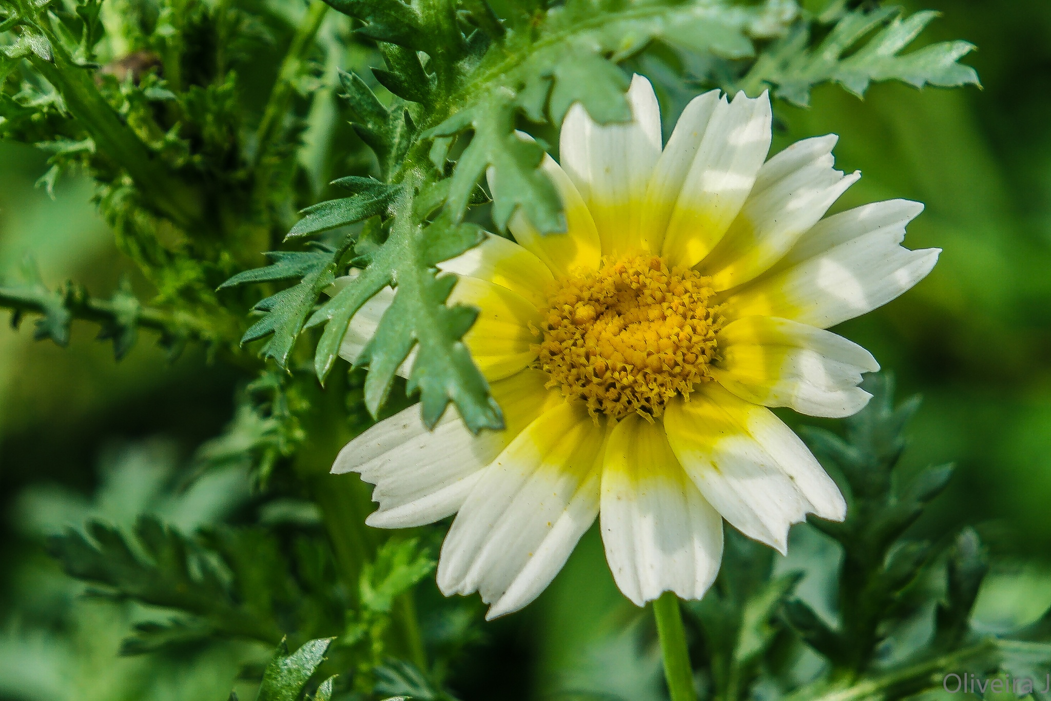 TIMID DAISY by joseoliveira1694