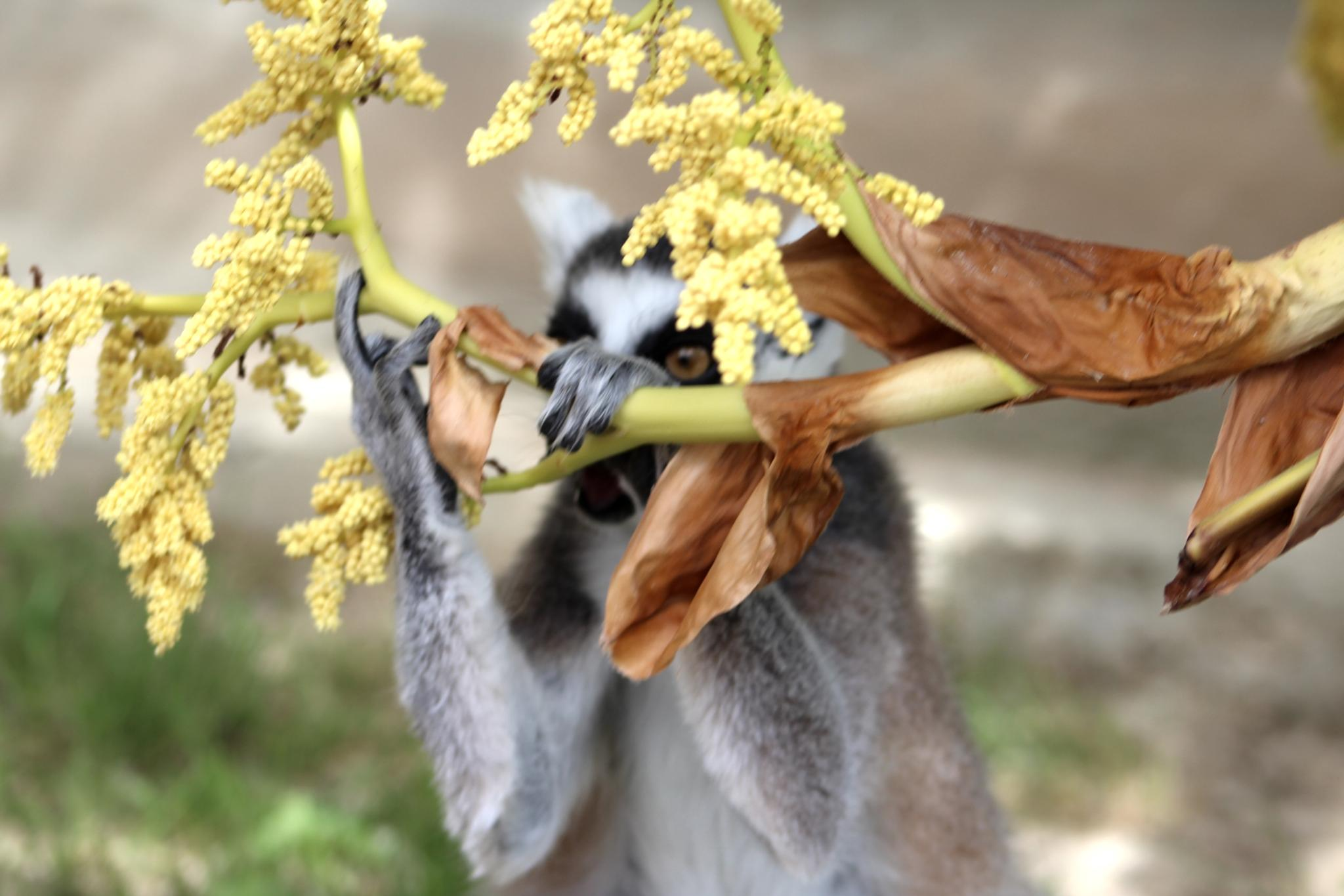 Lemurs at the Safari Park by LoryC