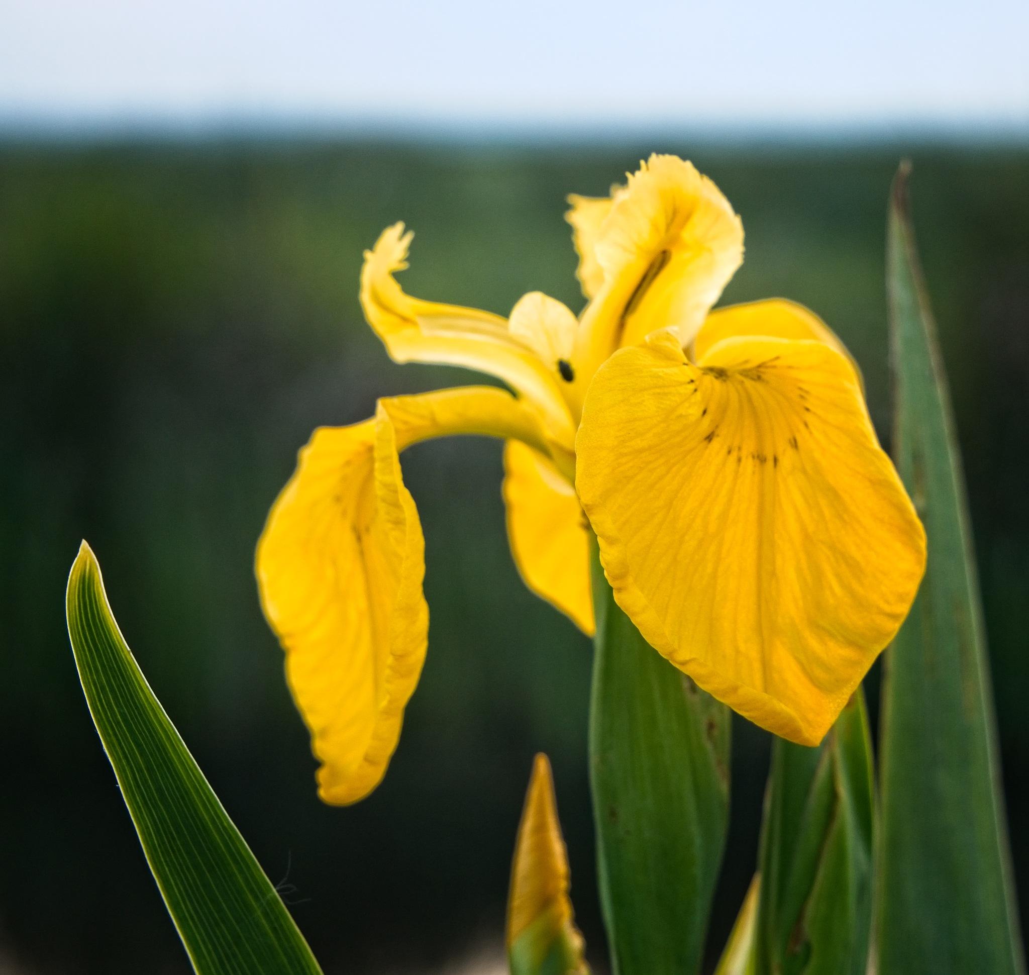 WILD FLOWER by BugOlsson