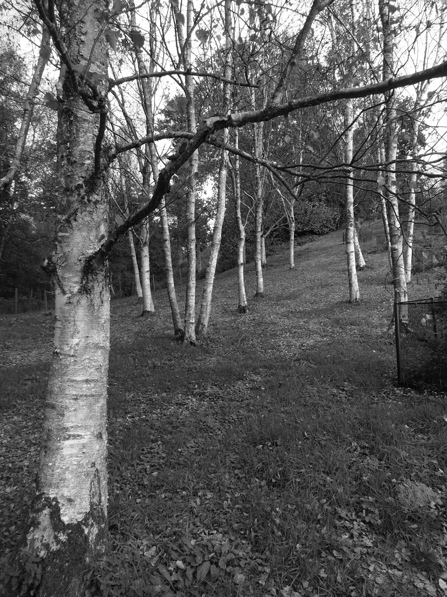 Silver Birch by BugOlsson