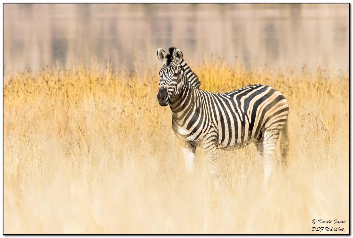 Zebra by dawid.fourie.9
