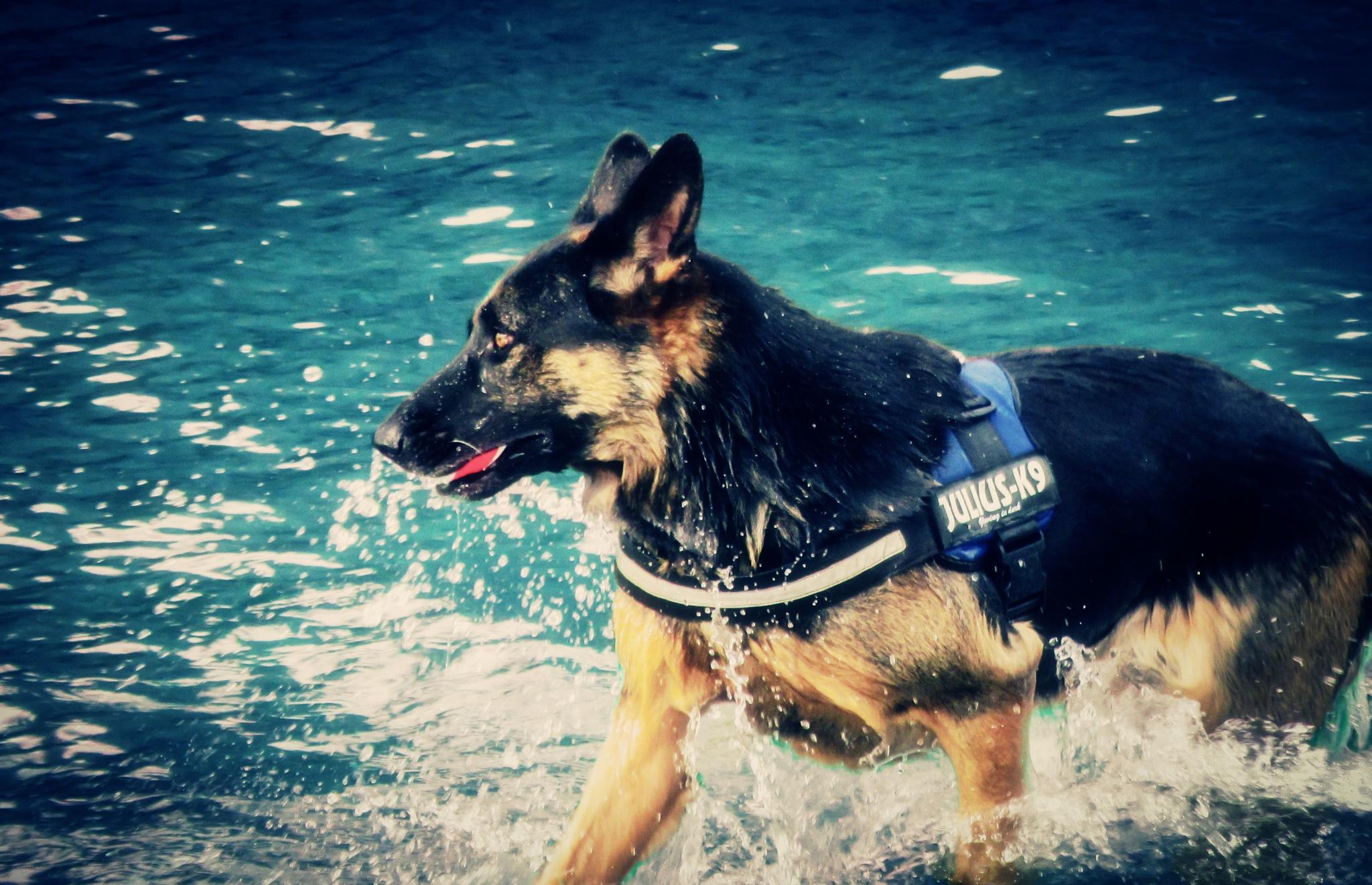 German Shepherd by Reddogpics