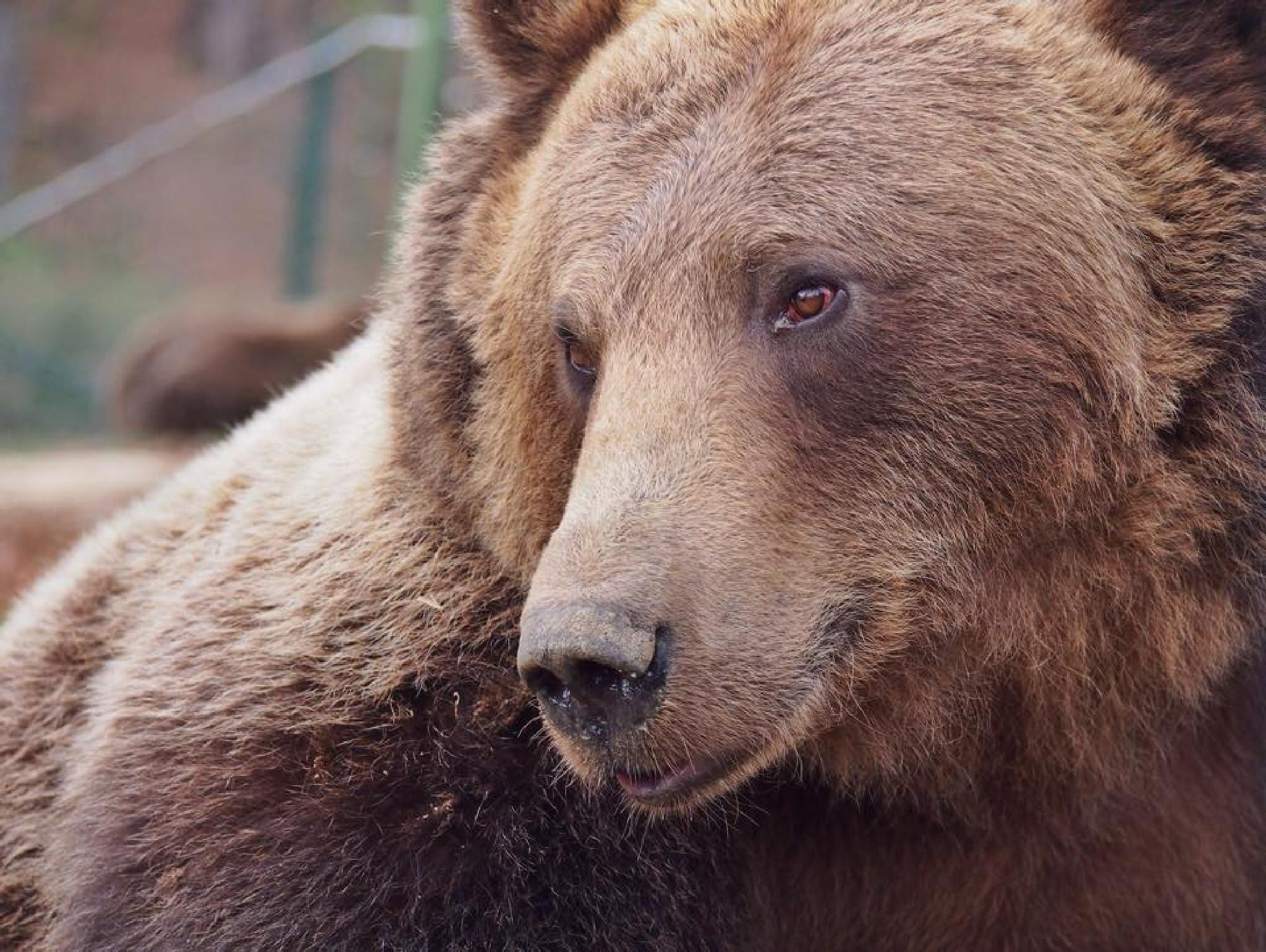 Brown Bear in Captivity  by liamrperkins