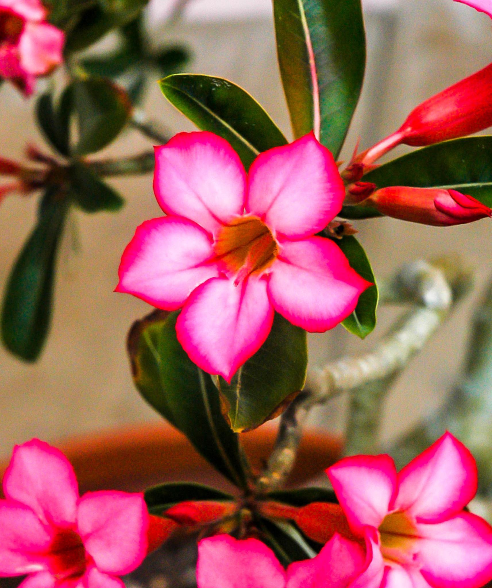 Desert Rose by wes.johnson.58
