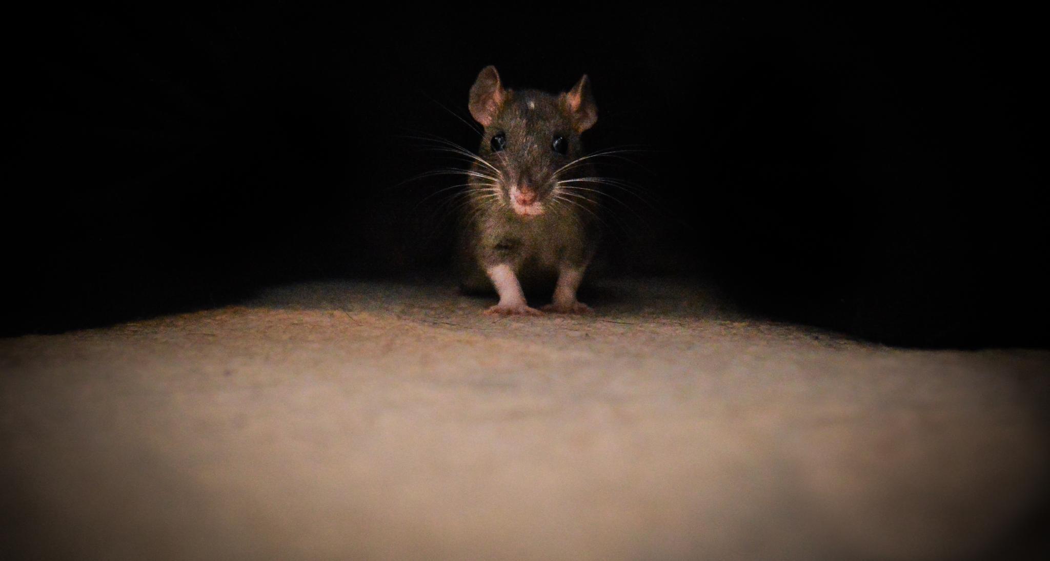 Pet rat by Emma Jade