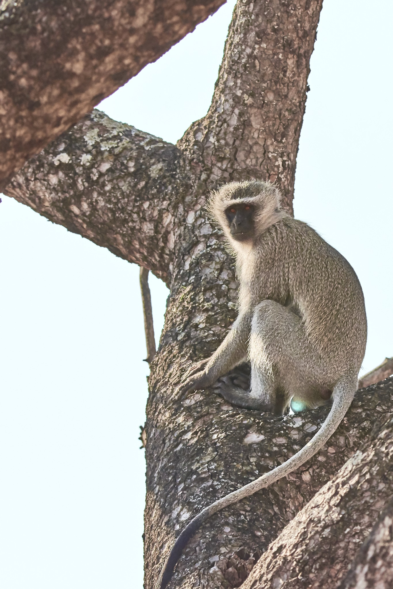 vervet monkey  by miwwim