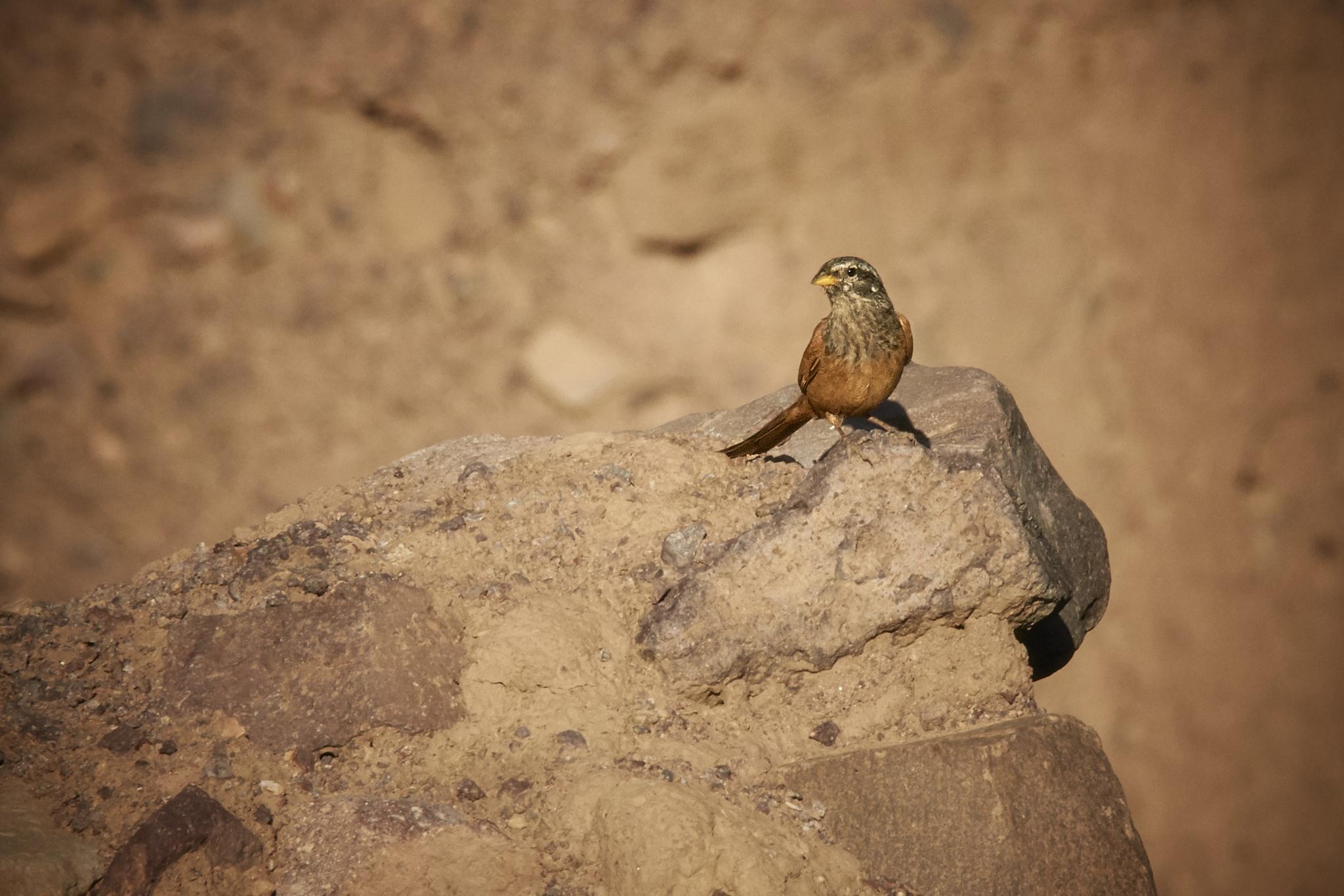 sparrow by miwwim