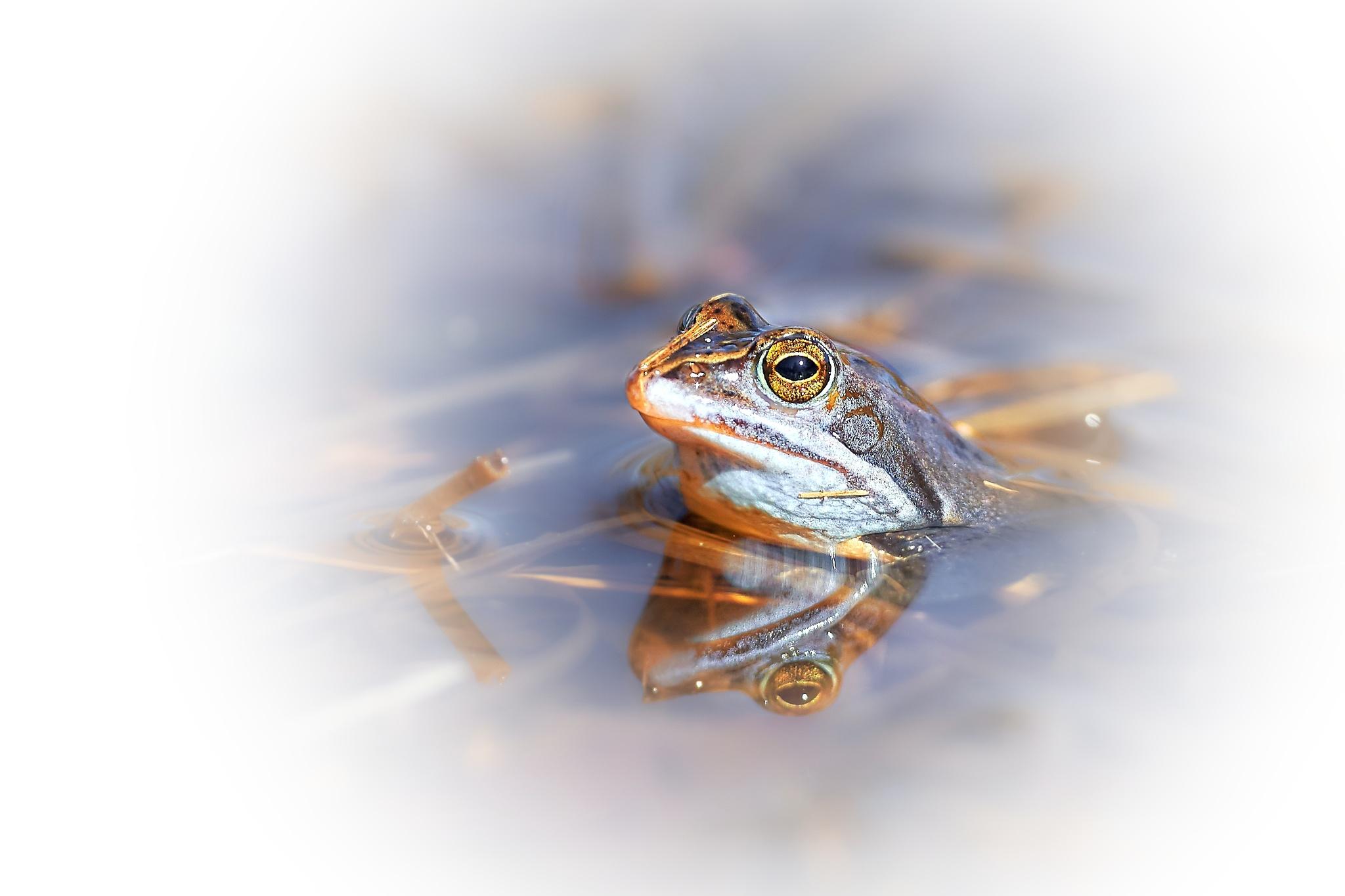 Moorfrog by miwwim