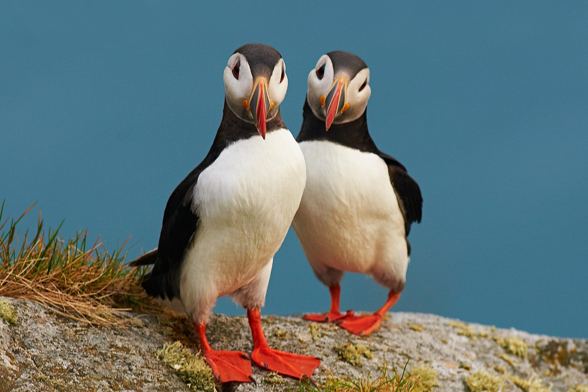 puffins by miwwim