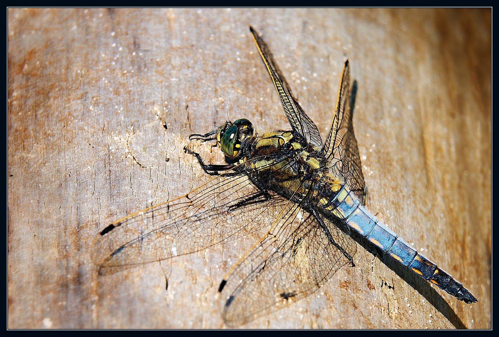 dragonfly by miwwim