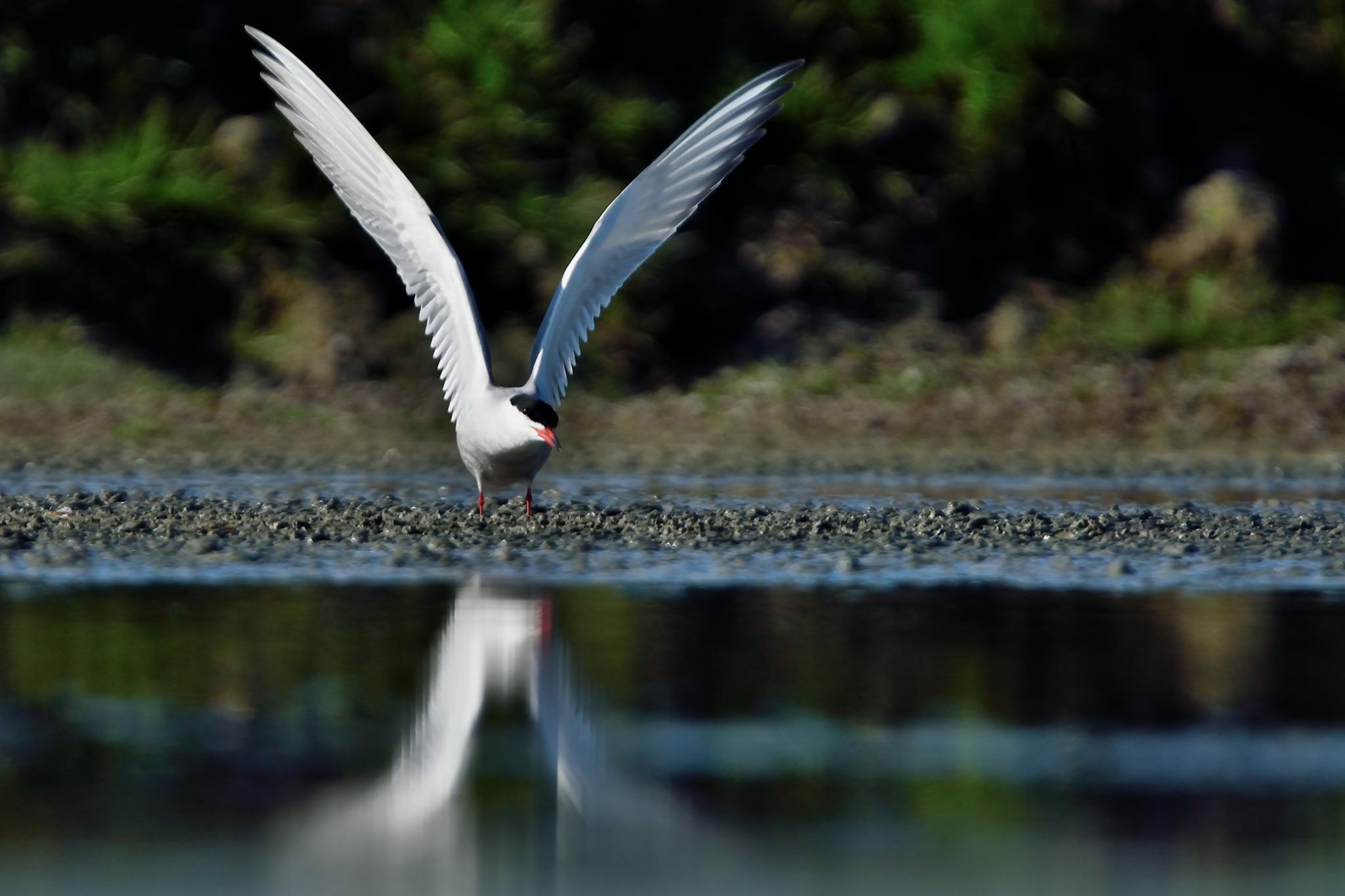 tern by miwwim