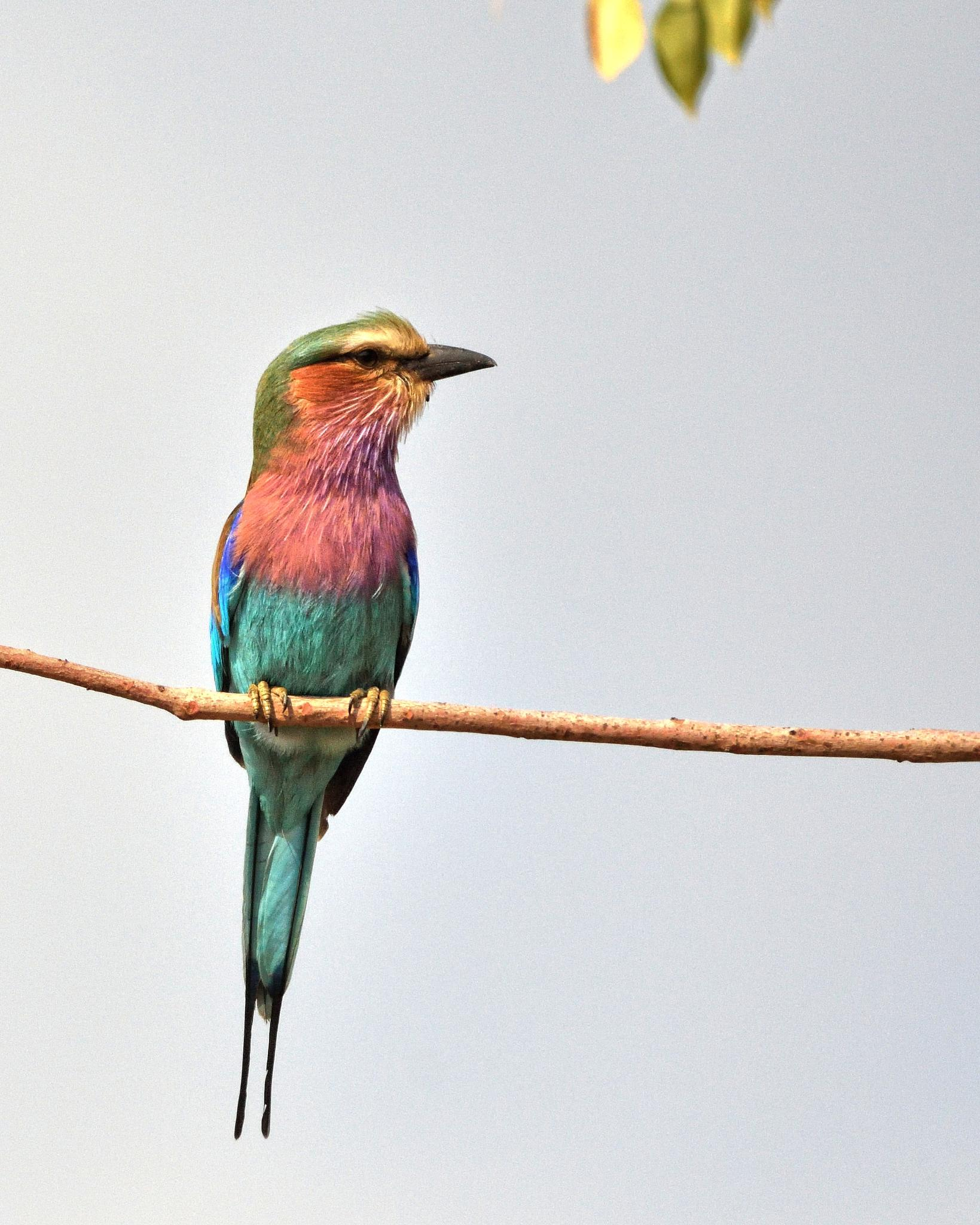 lilac-breasted roller by miwwim