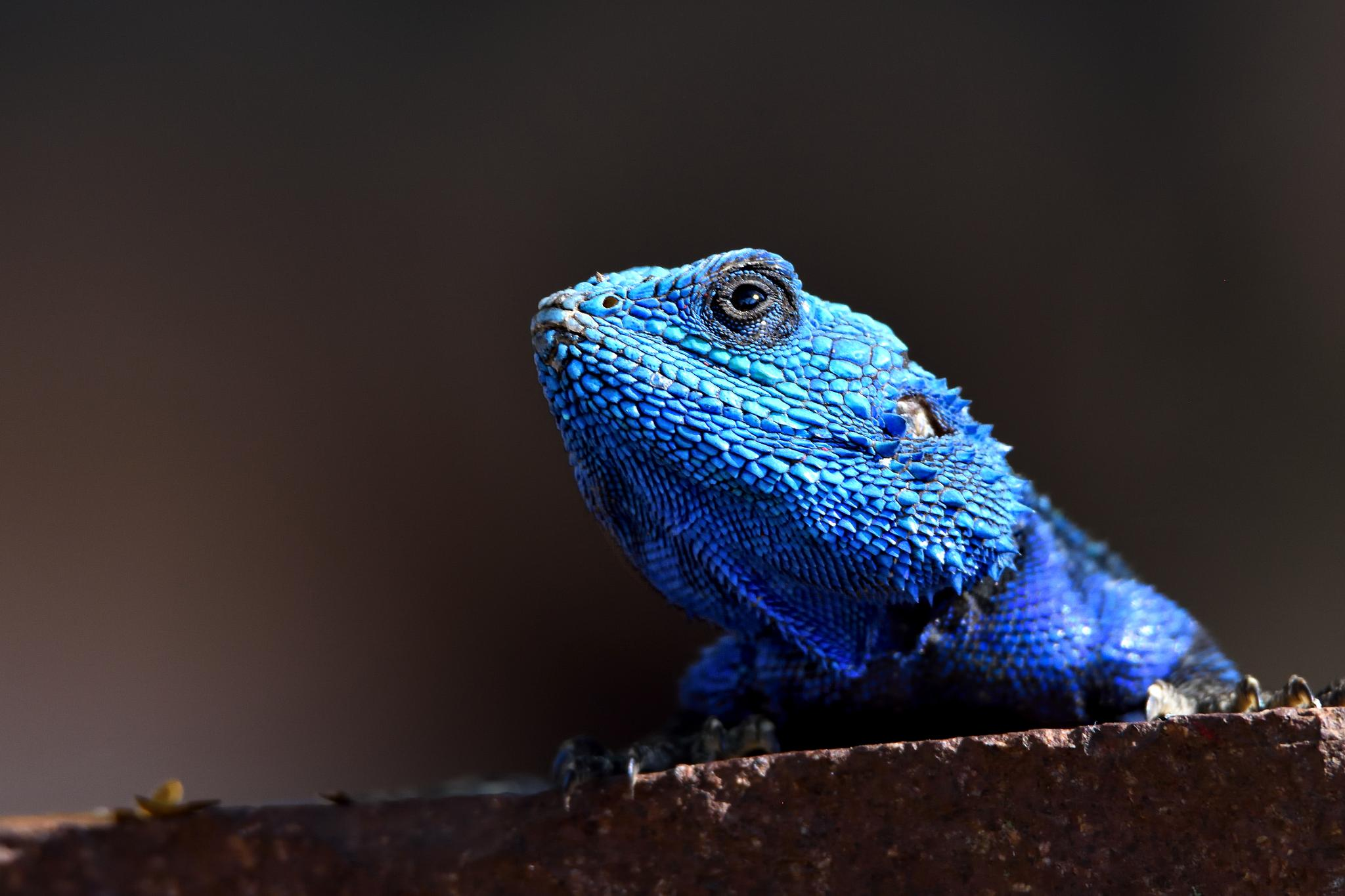 Blue Head Agama lizard by miwwim