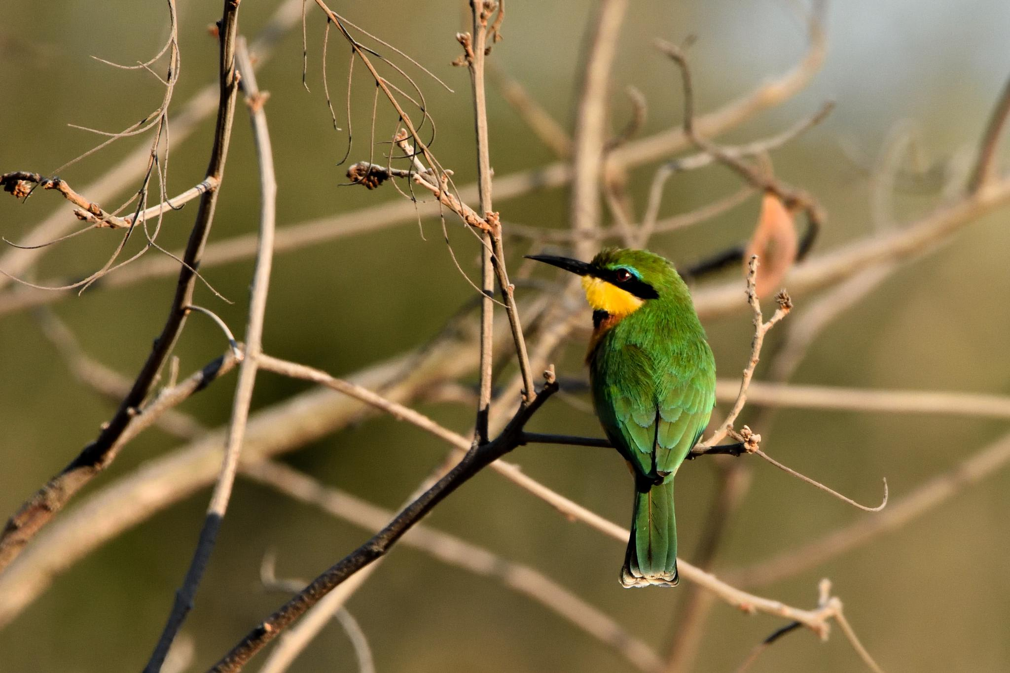 Little Bee-eater by miwwim