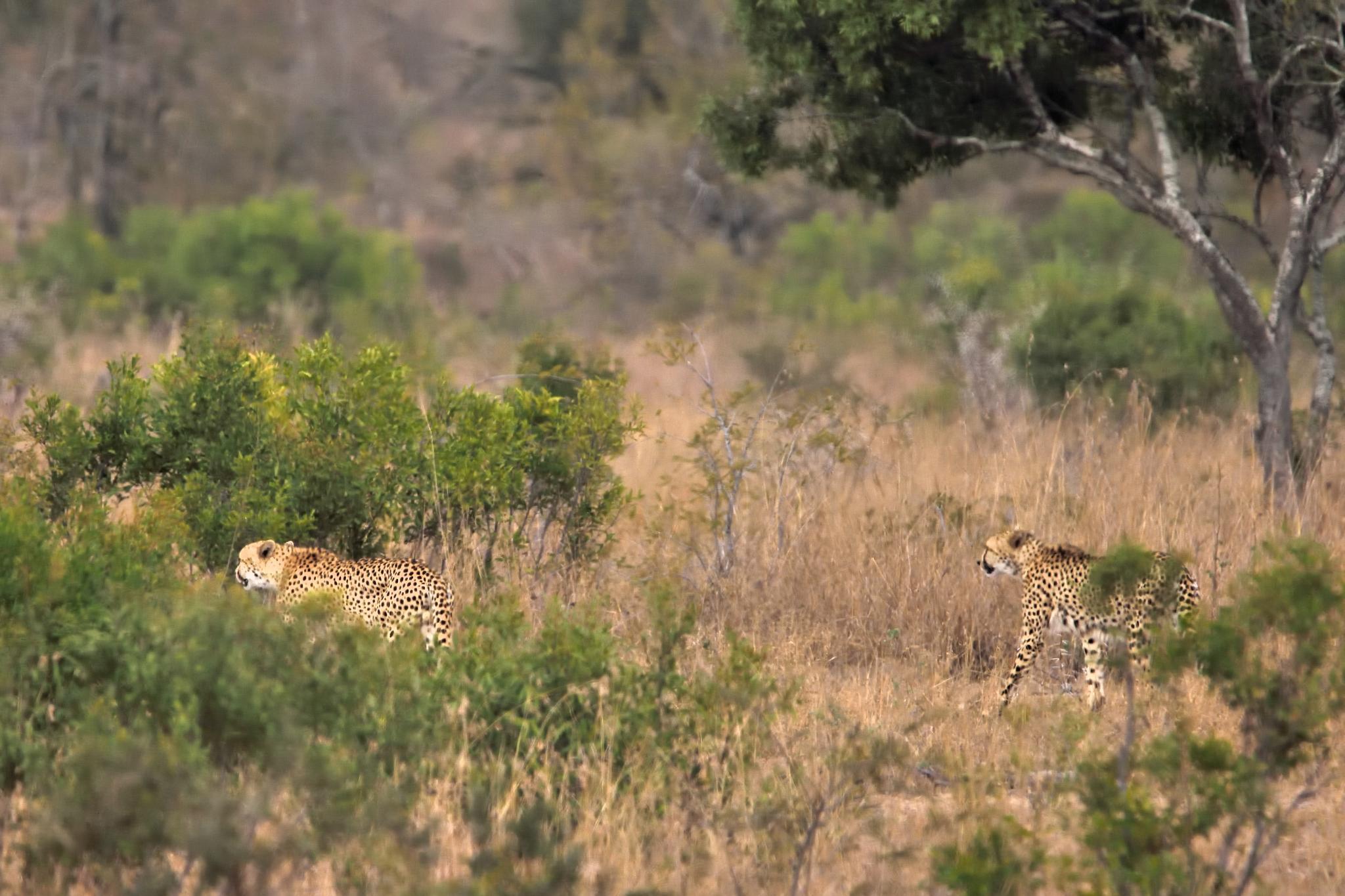 cheetah by miwwim