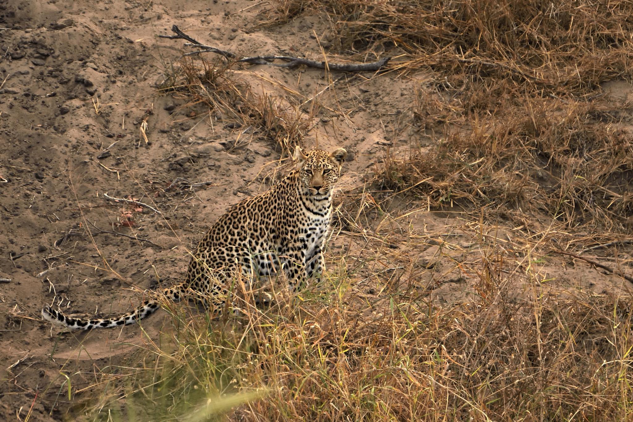 leopard by miwwim