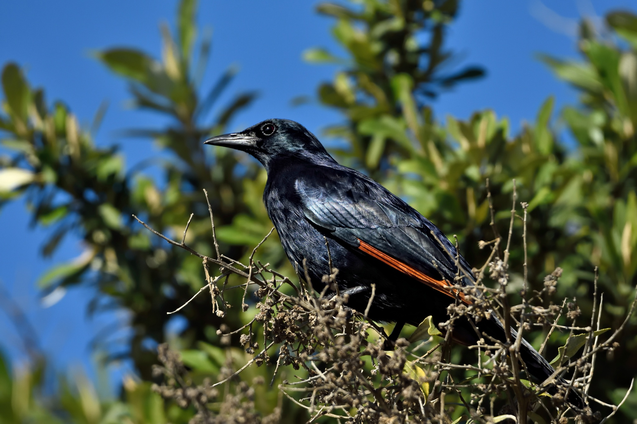 Red-winged starling by miwwim