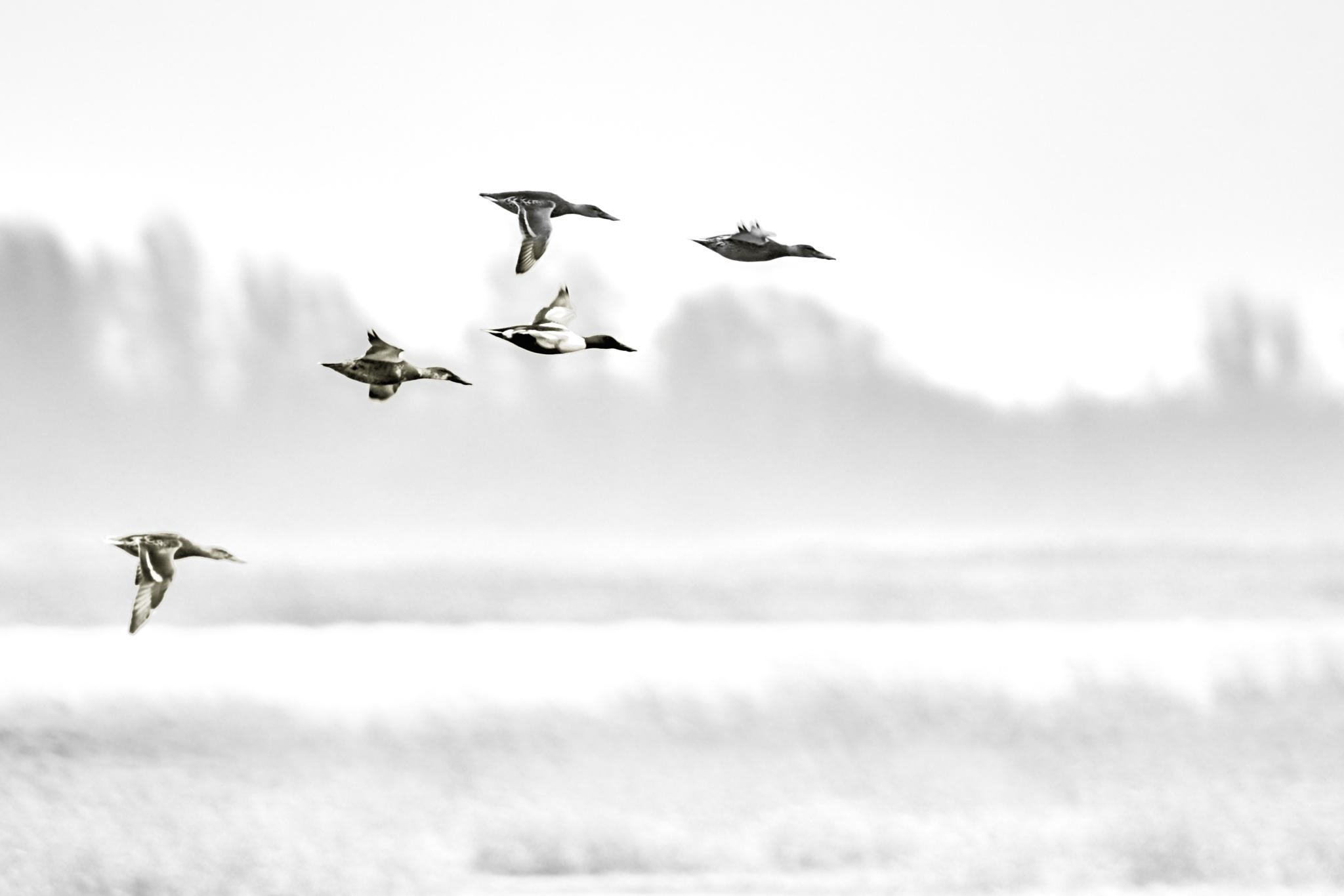 ducks by miwwim
