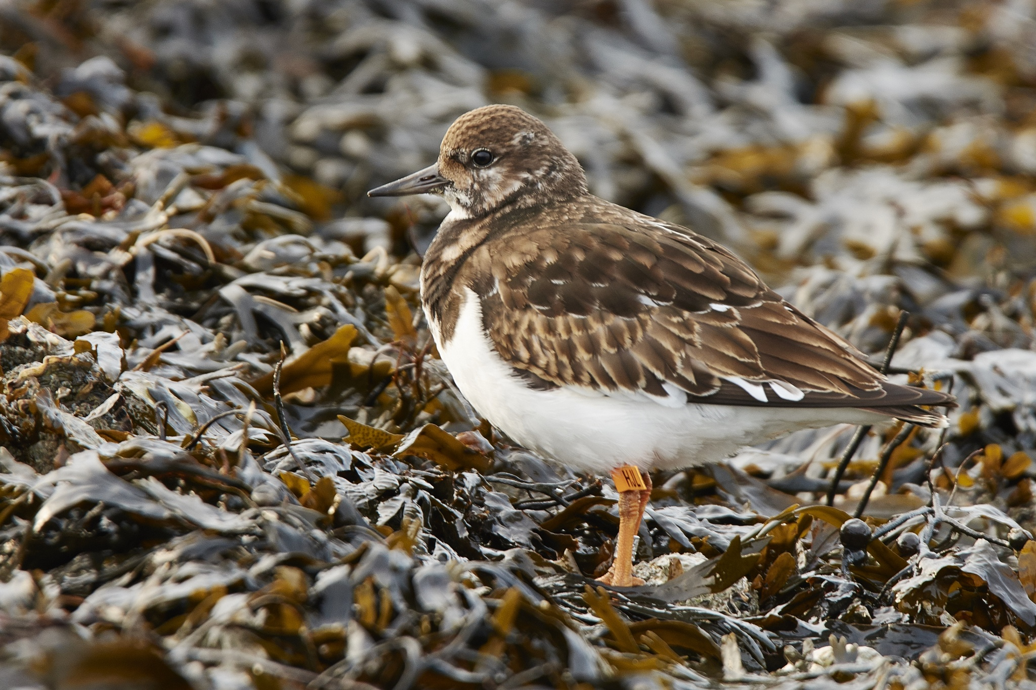 sanderling by miwwim