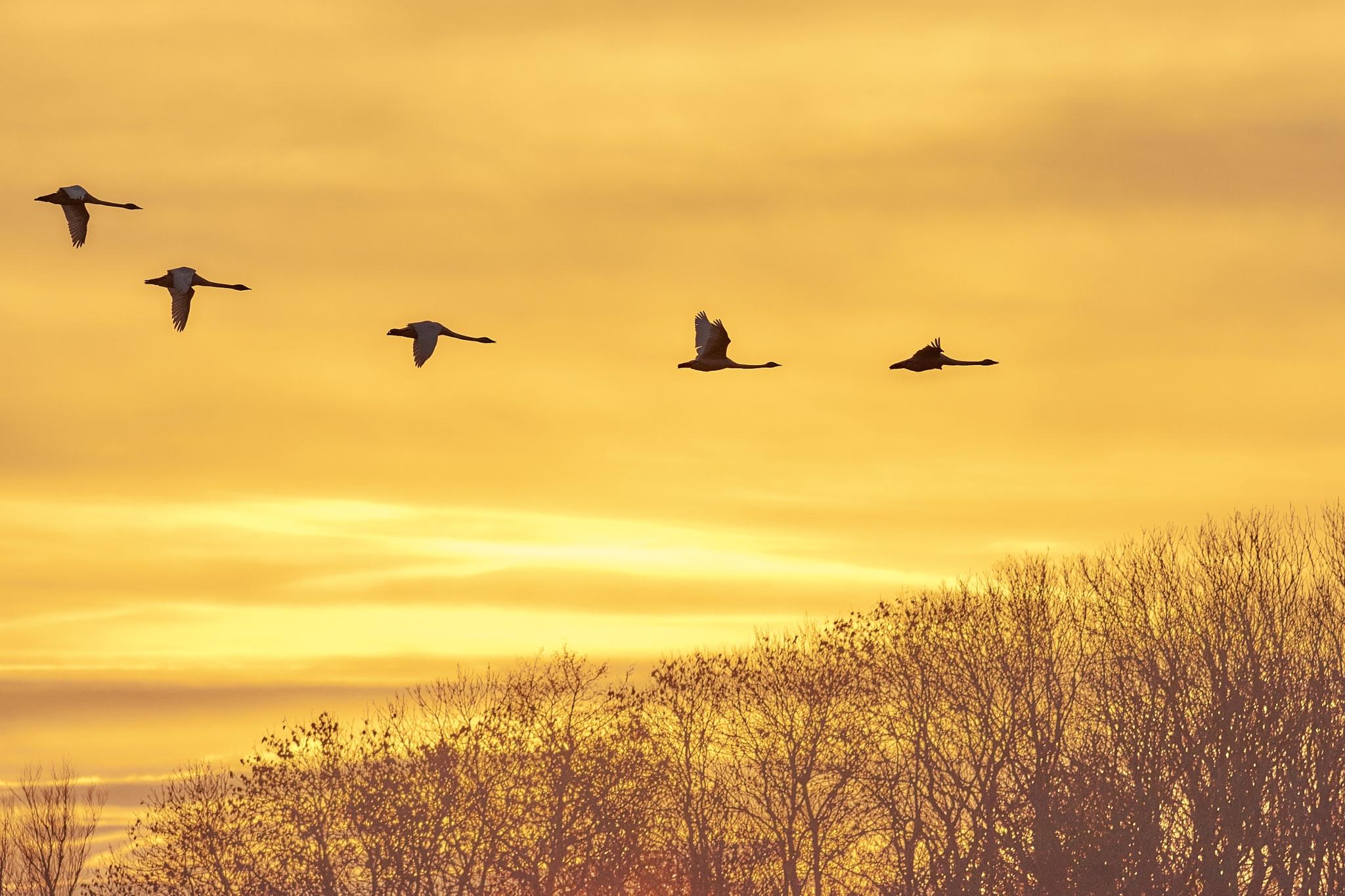swans by miwwim