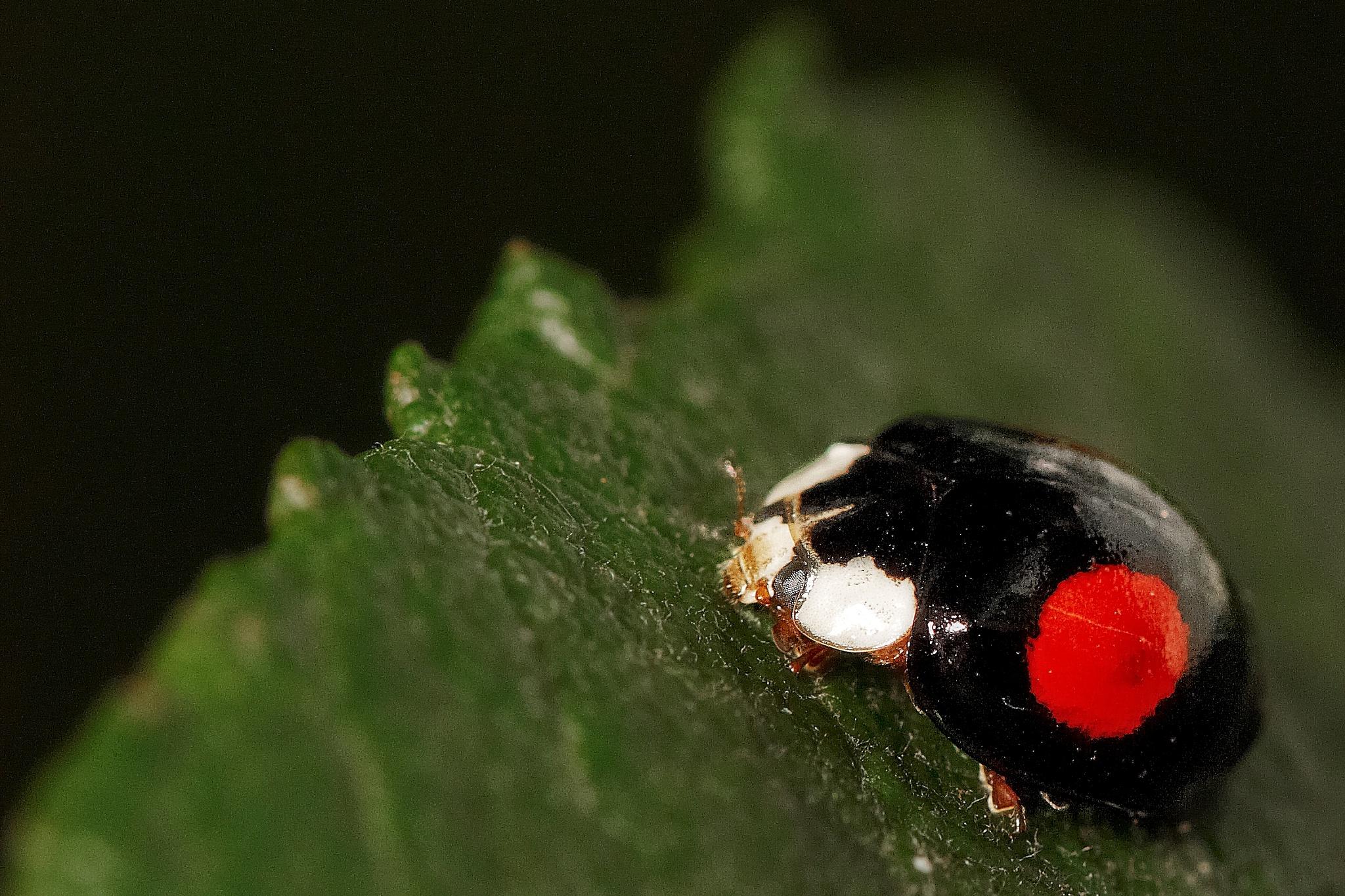 ladybug by miwwim
