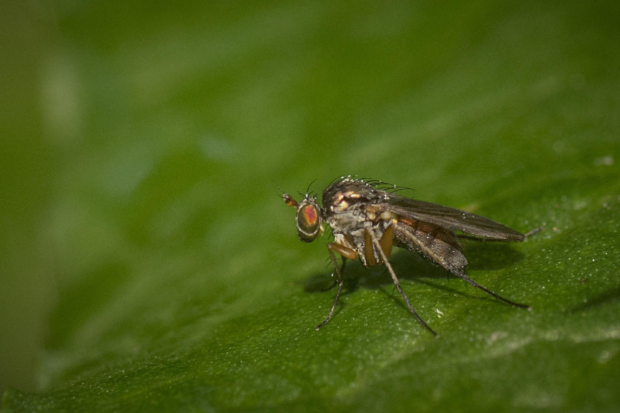 mosquito by miwwim