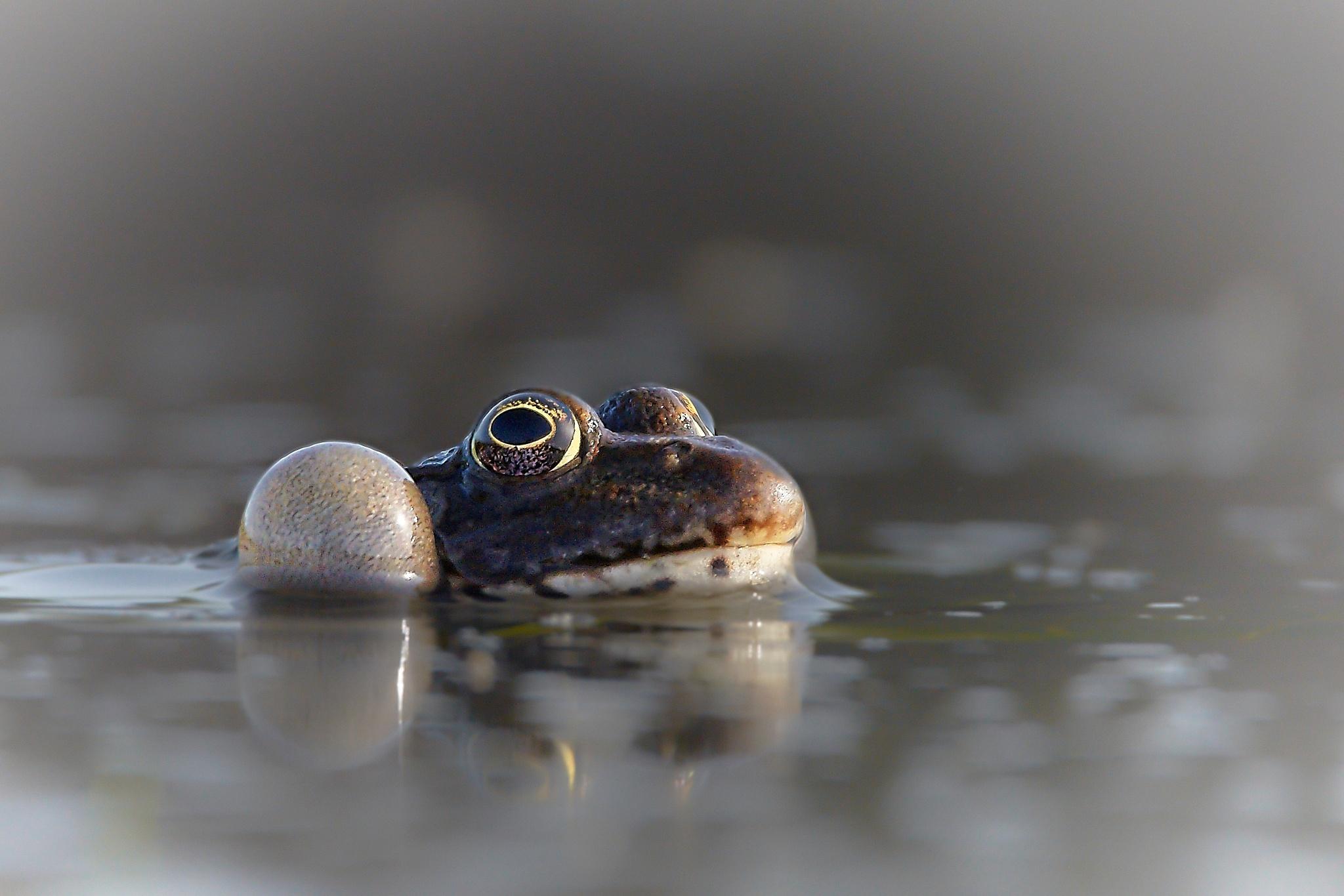frog by miwwim