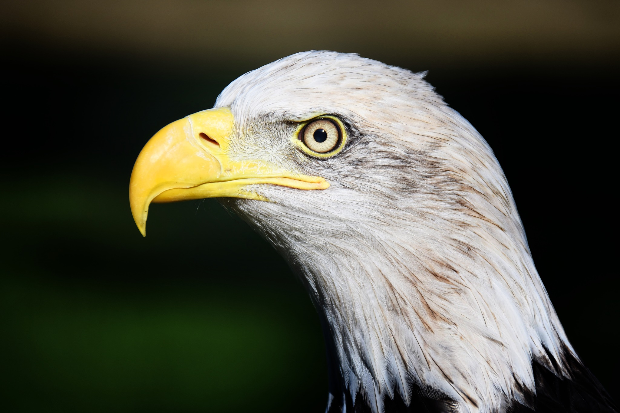 American Eagle by miwwim